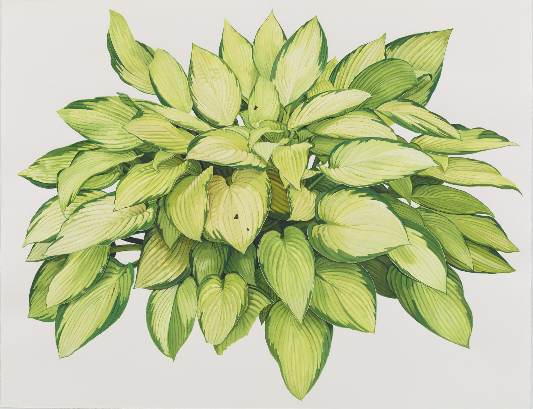 Hosta 2 (Yellow & Green)