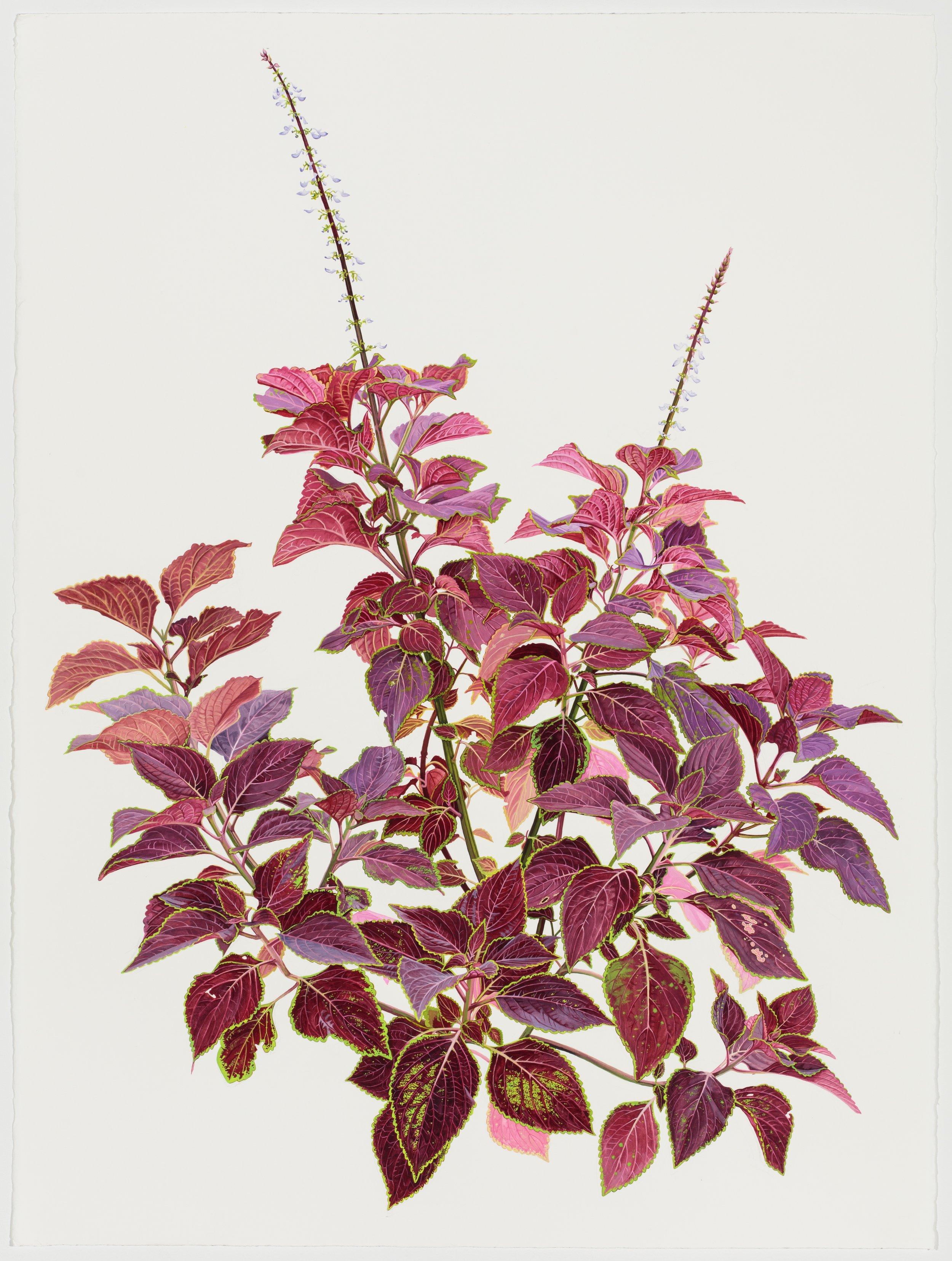 Red Coleus