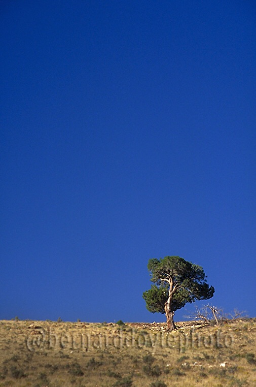 Pinyon Pine Tree. New Mexico. Cross country trip. Memories... #TBT