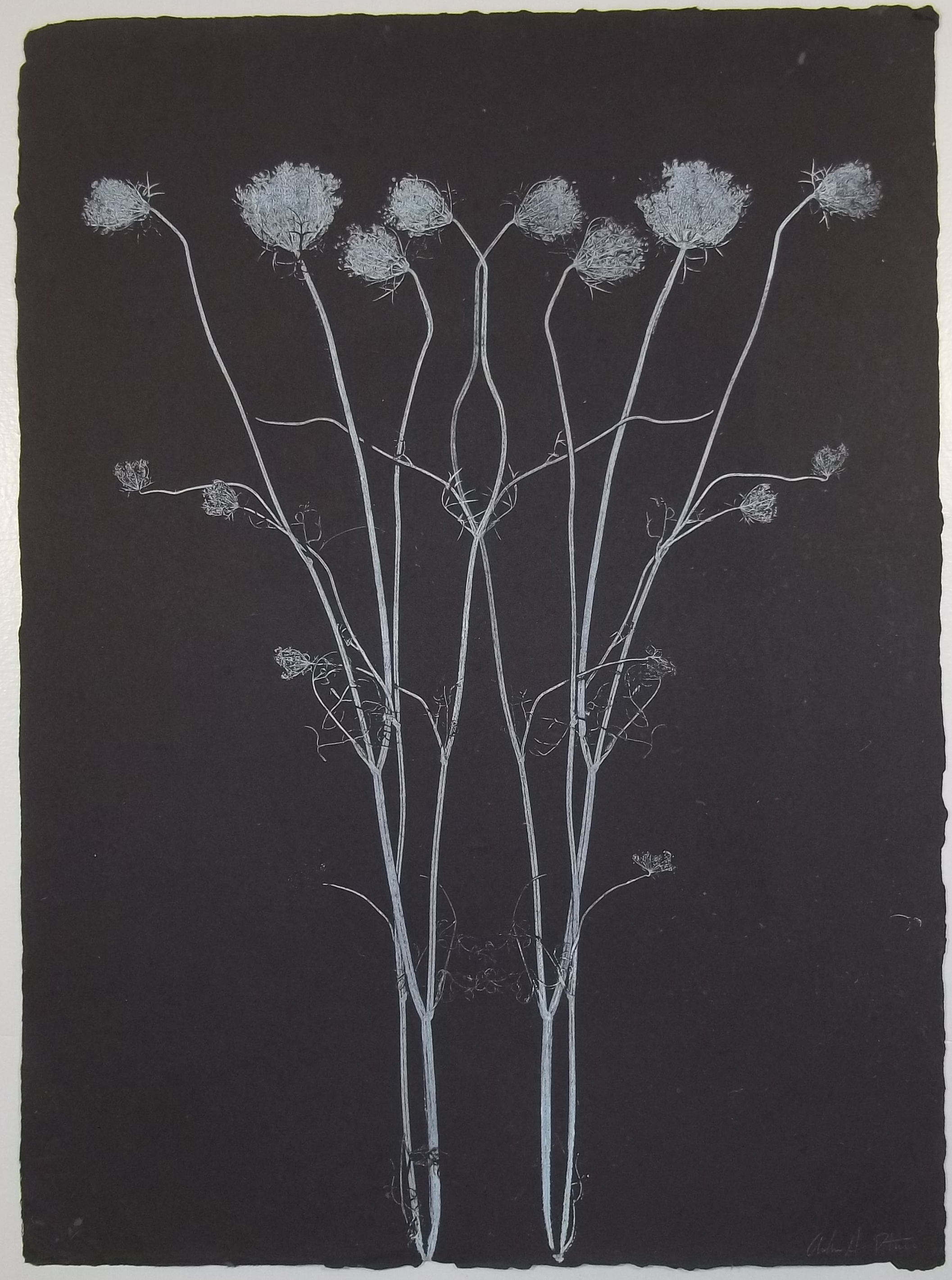 Queen Anne's Lace , ink on handmade cotton rag, 2014
