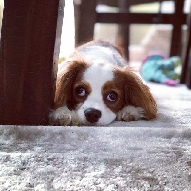 The many faces of Ellie . . . #dogsofinstagram #cavalierkingcharlesspaniel #kingcharlescavalier