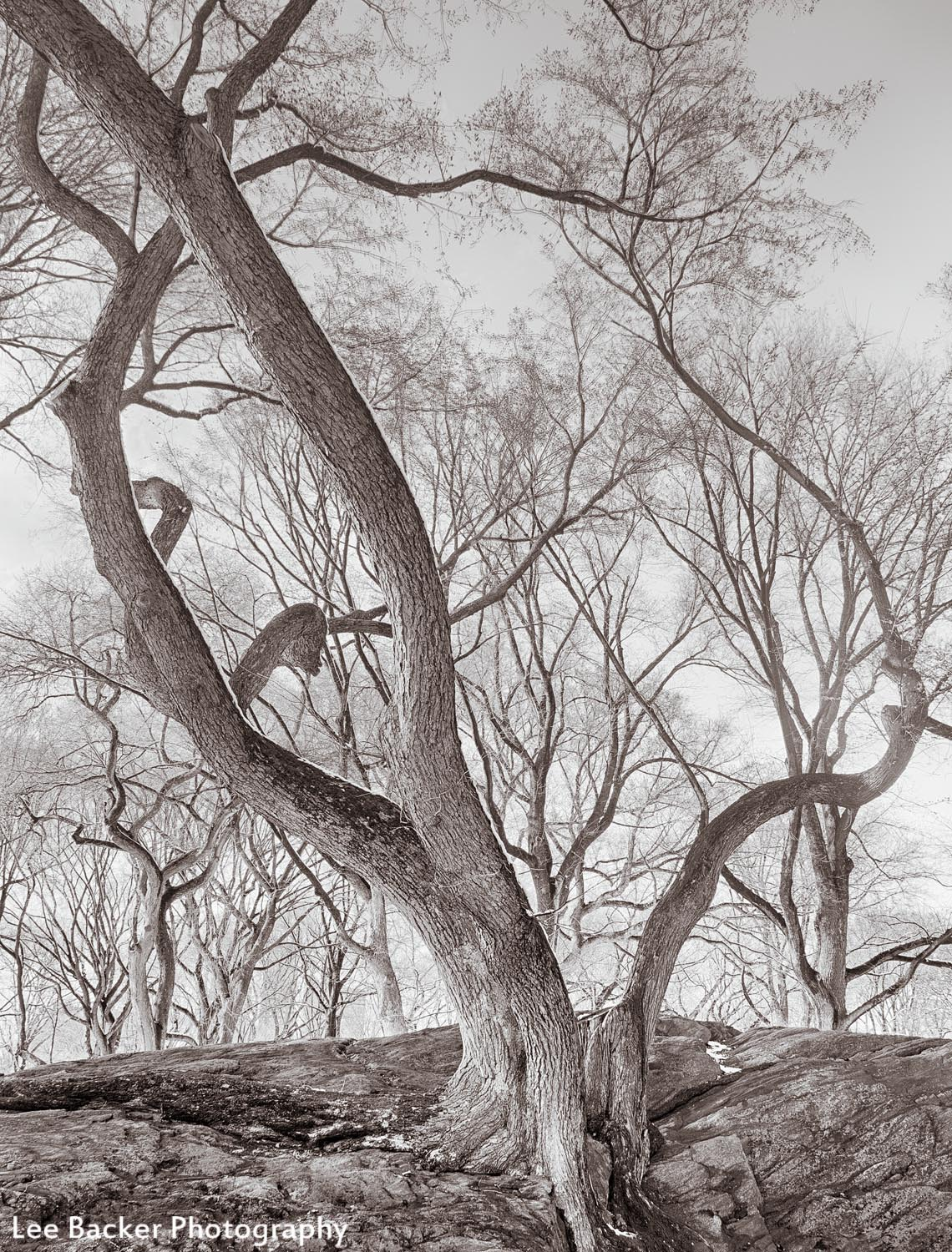 Elm Trees on Rock, Central Park, NYC