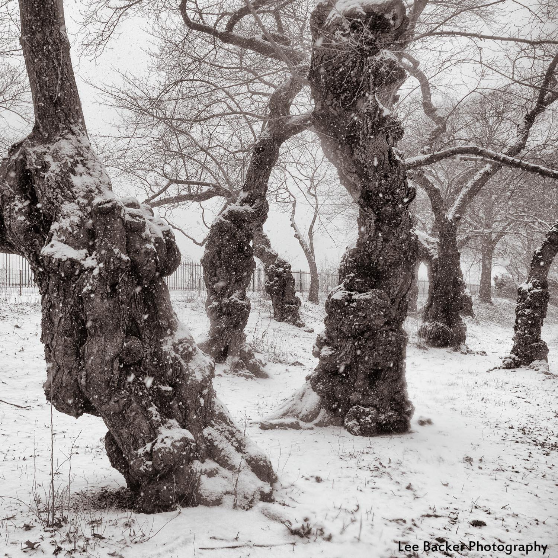 Yoshino Cherry Trees, Central Park, NYC