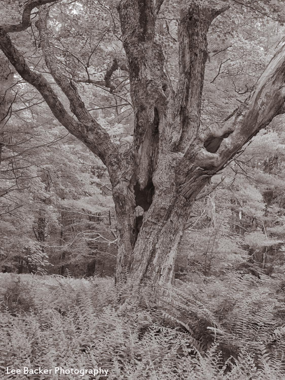Maple Tree, Steepletop Reserve, New Marlborough, MA