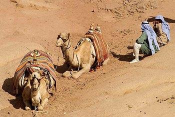 Bedouin_Camels.jpg