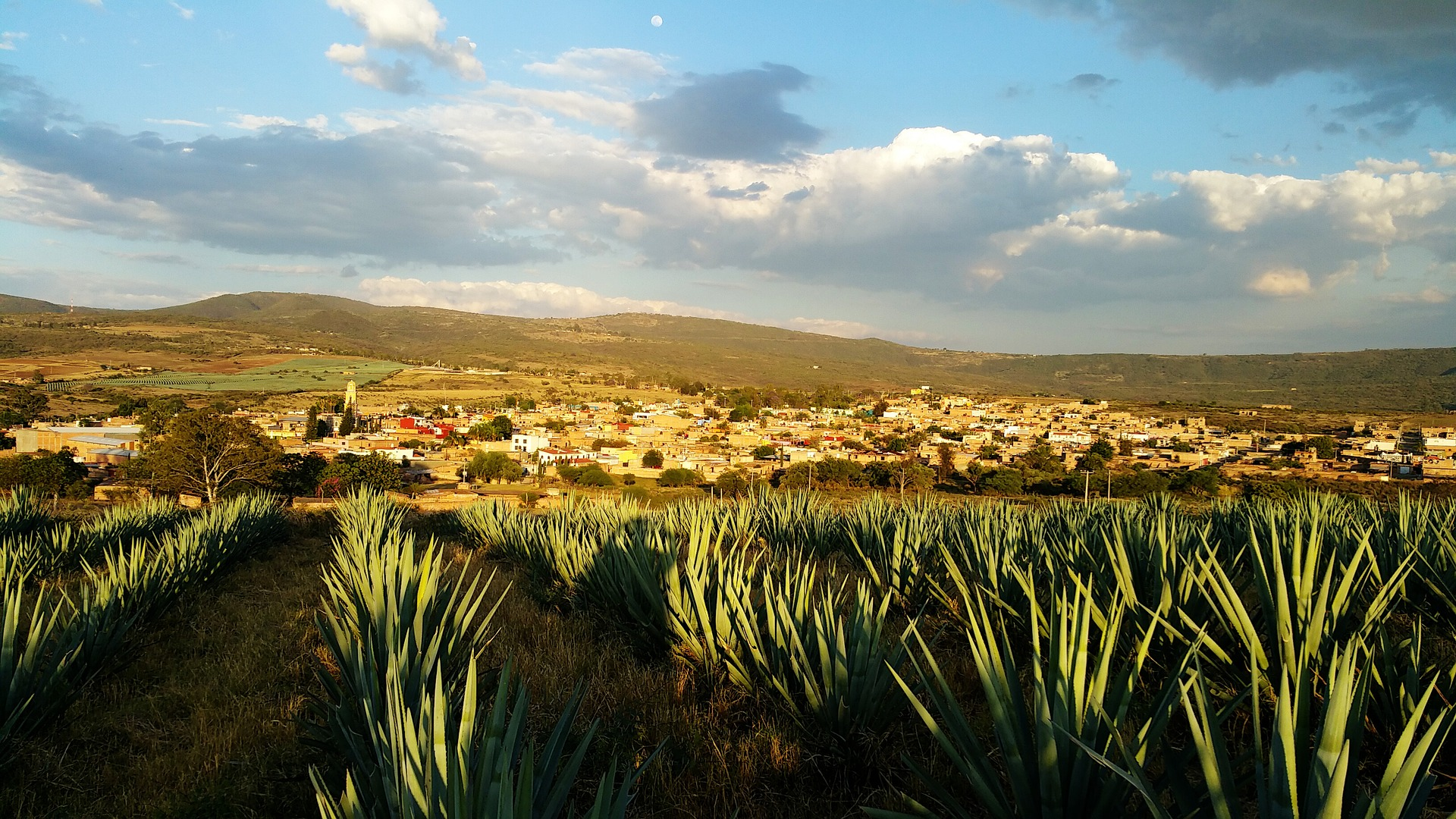 Blue agave fields in Mexico.