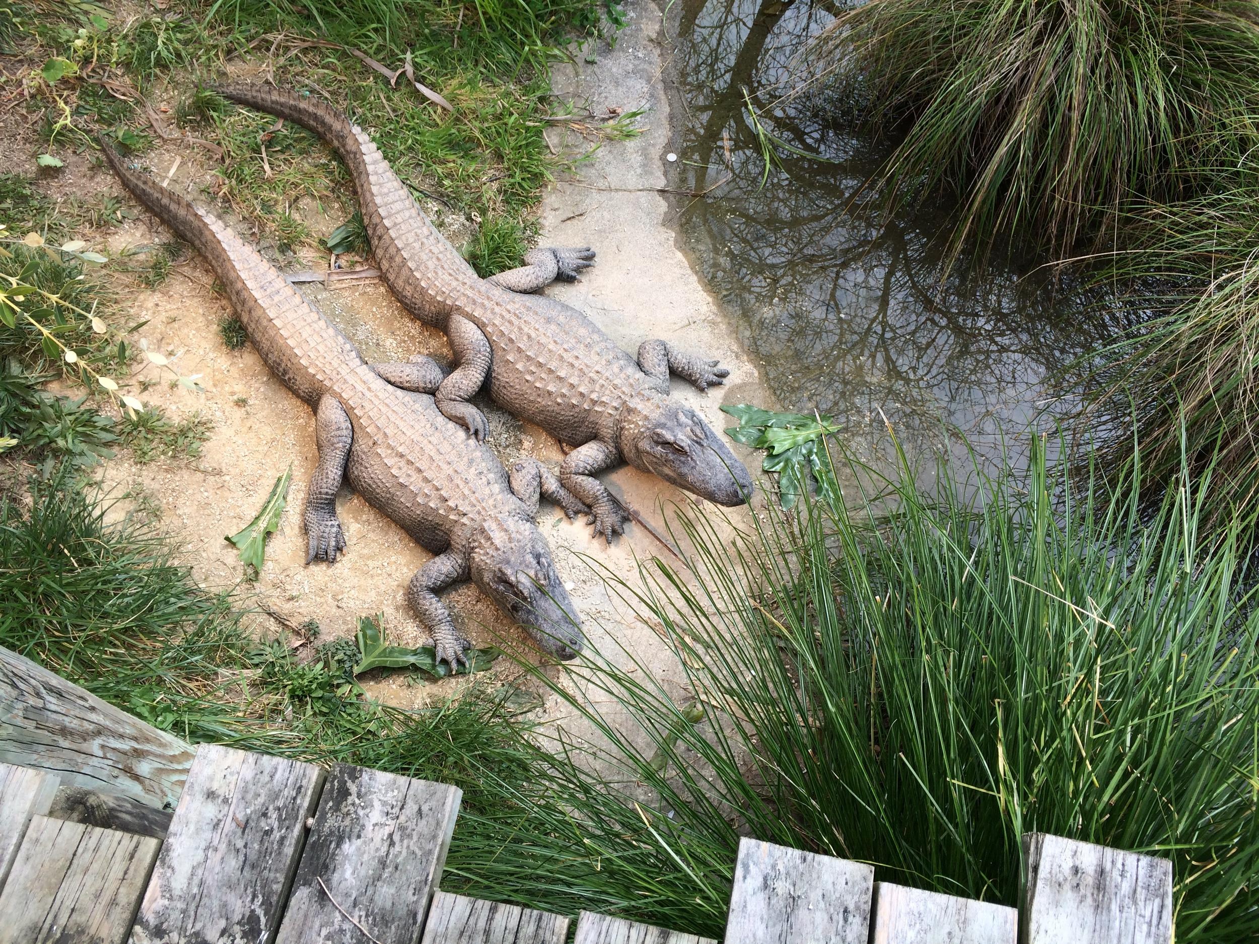 "Auckland Zoo ""'Gator Territory"", 2009 Photo: Lindsey Gadbois"