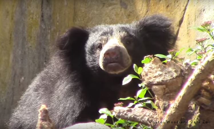 Sloth Bear Sniffing Air_credit.jpg