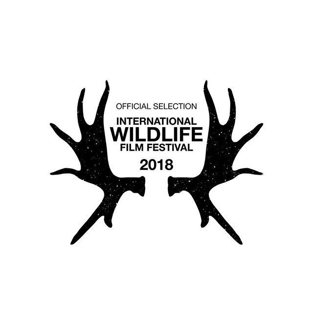Happy to announce that Mabingwa has been selected to screen at the International Wildlife Film Fest. @wildlifefilmfest #mabingwa #whyilovekenya #documentary
