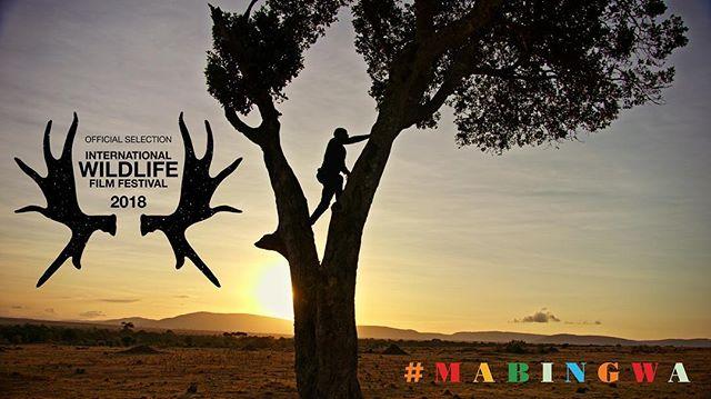 Mabingwa will screen on April, 21 at the International Wildlife Filmfest in Missoula, MT. Check out @wildlifefilmfest for more info! #filmfestival #wildlife #kenya #Mabingwa