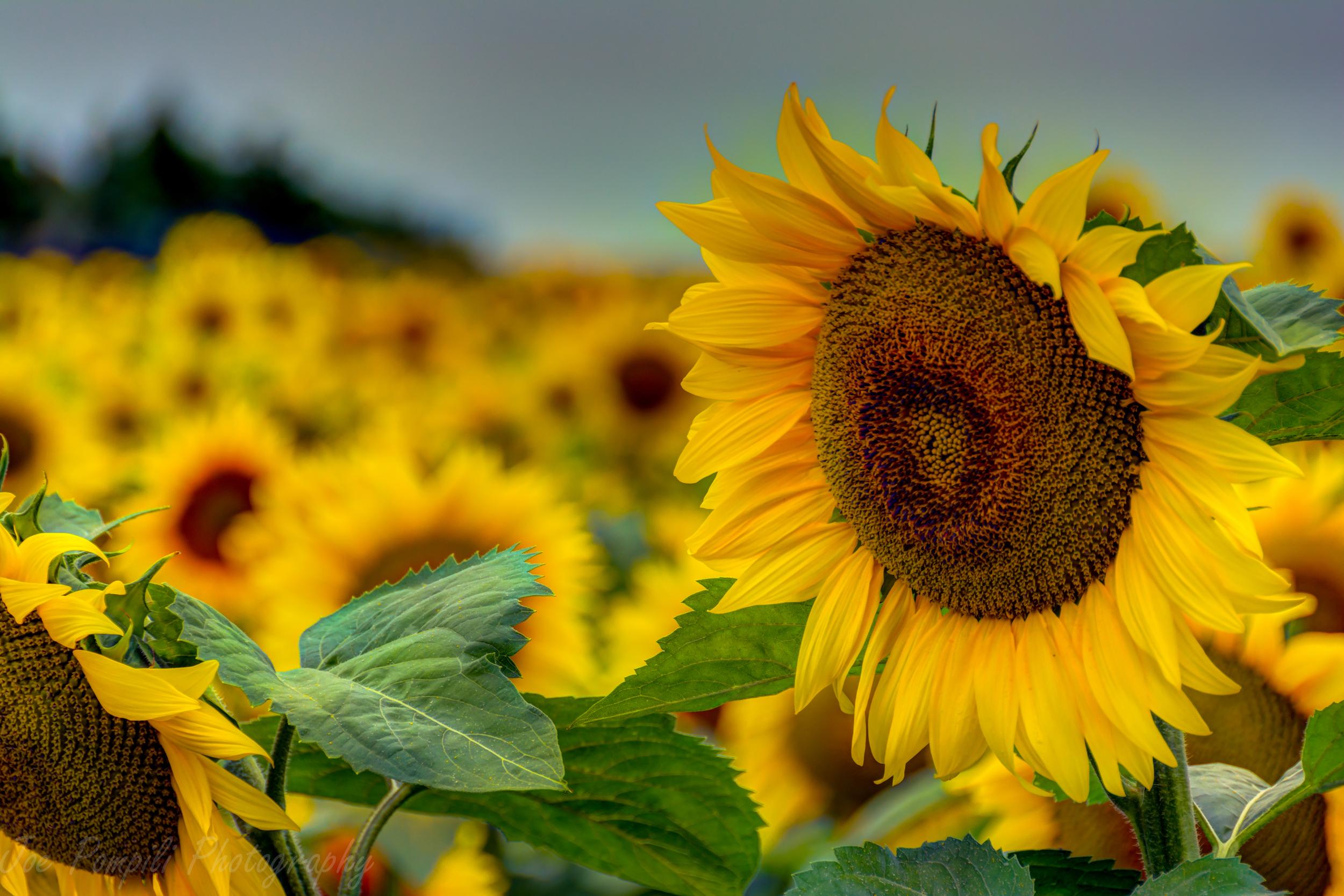 Calkins Road Sunflower Field #2P