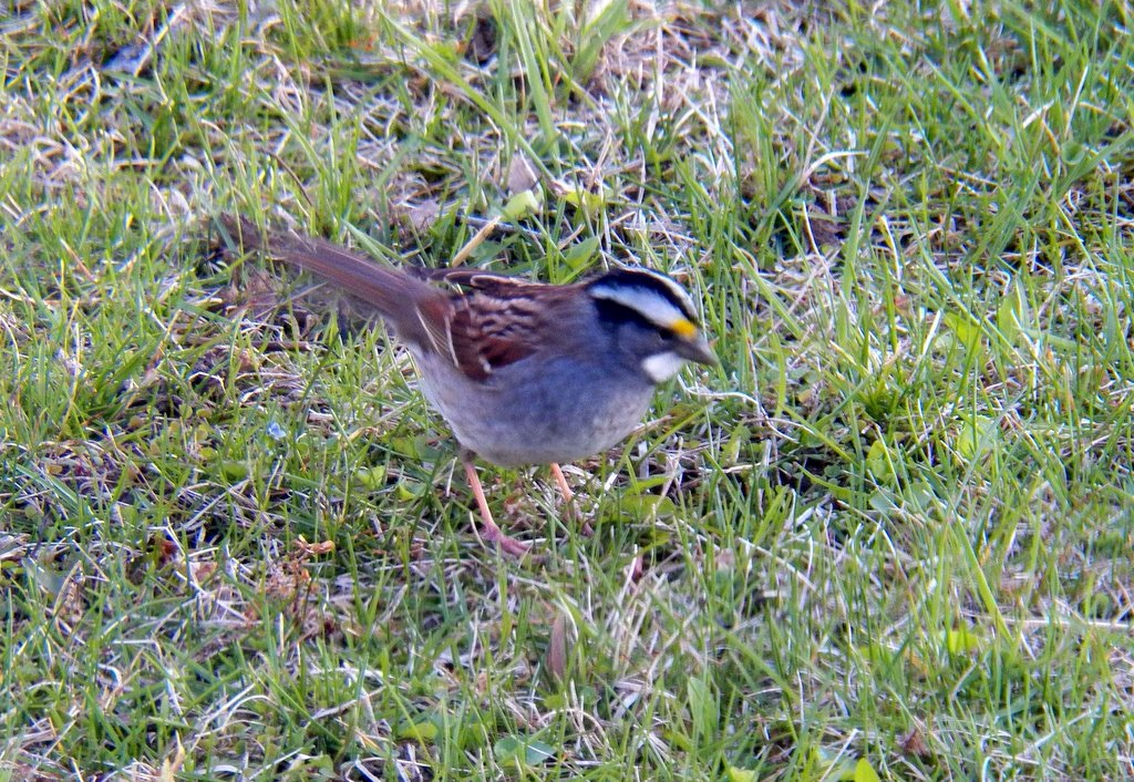 And a white-throated sparrow.