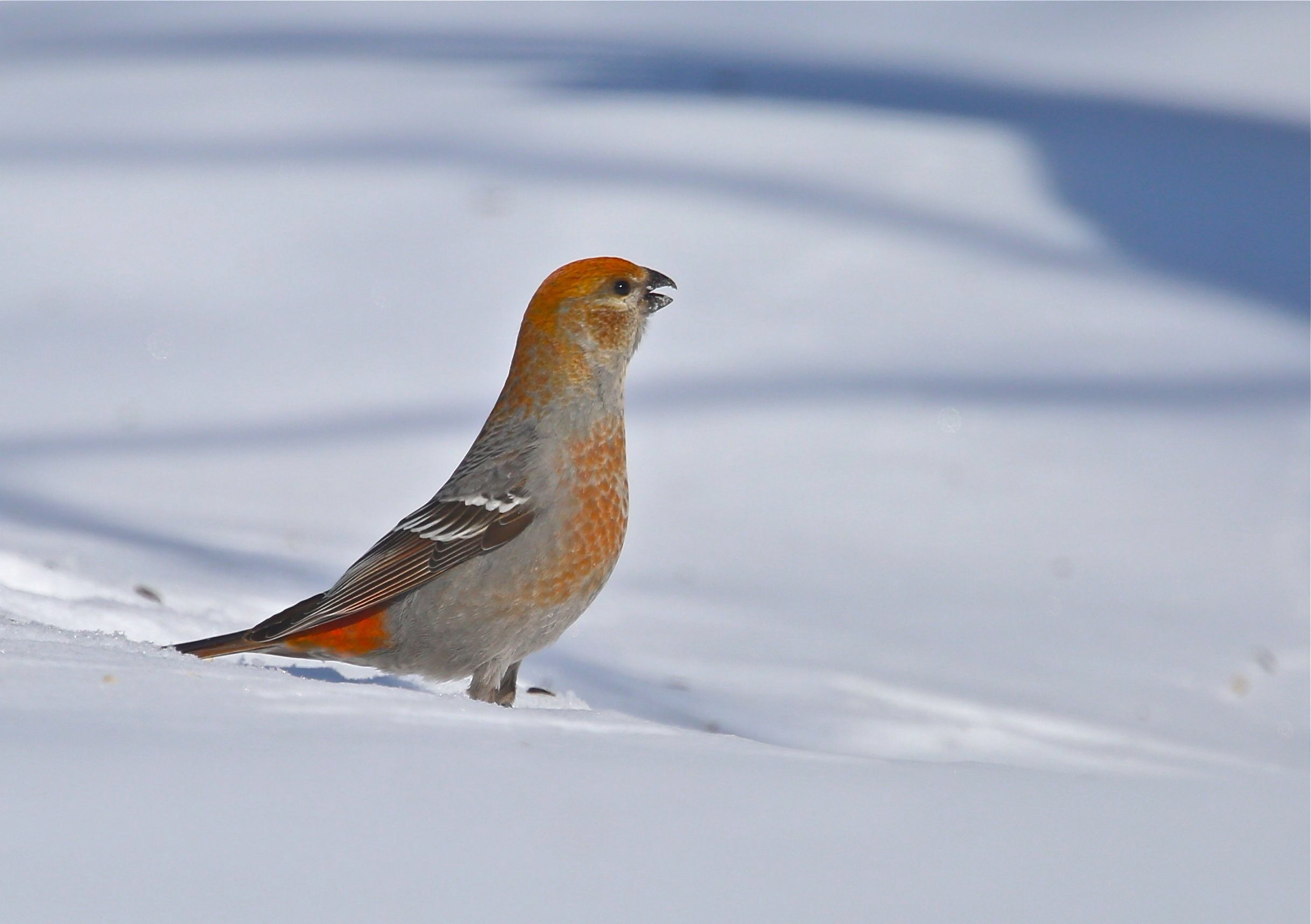 And three shots of a lovely pine grosbeak.