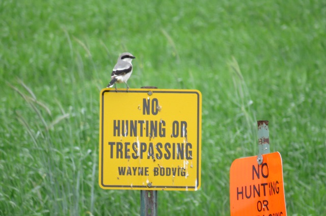 And loggerhead shrikes even if they are hunting and trespassing.