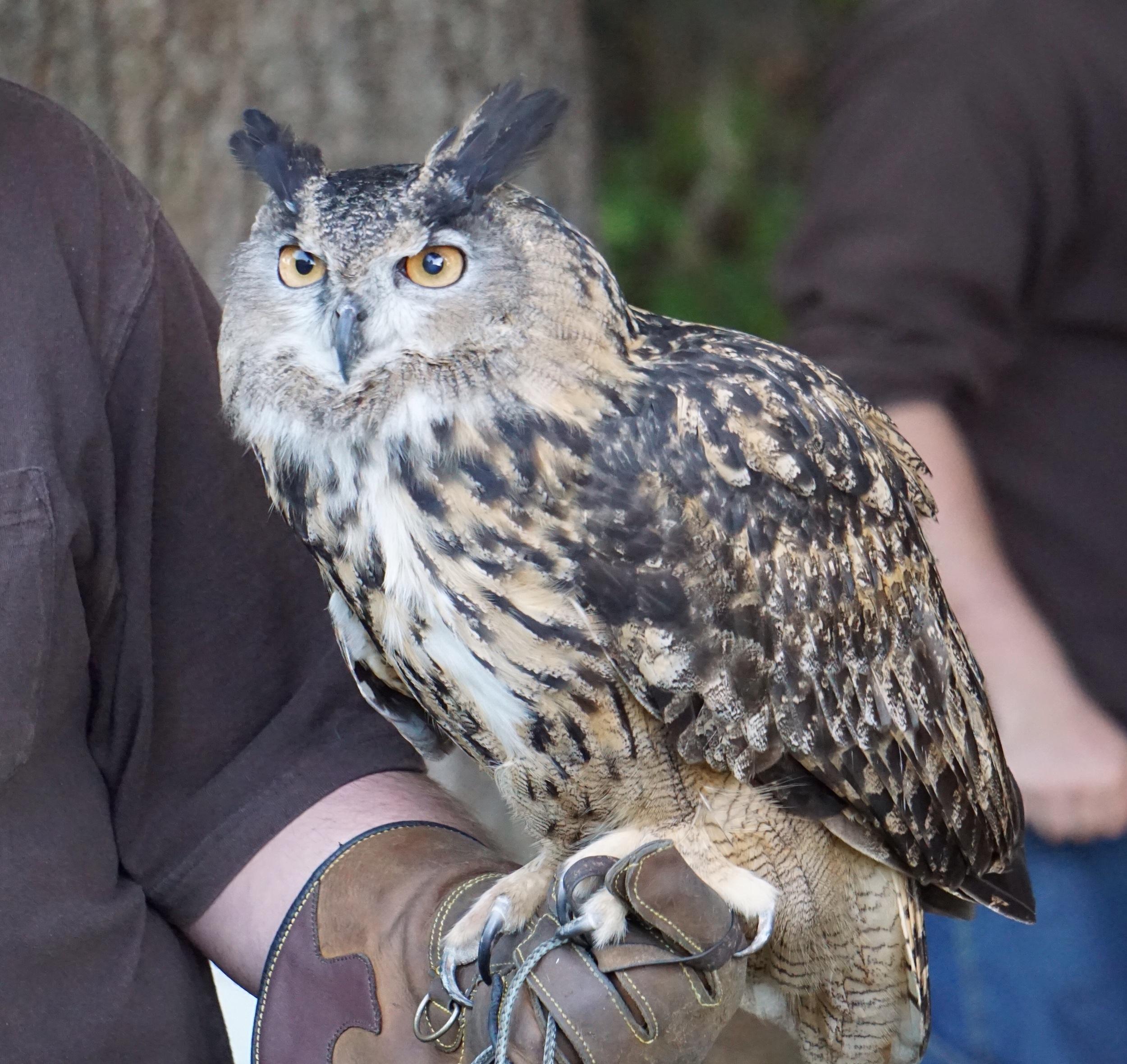 A Eurasian eagle-owl.