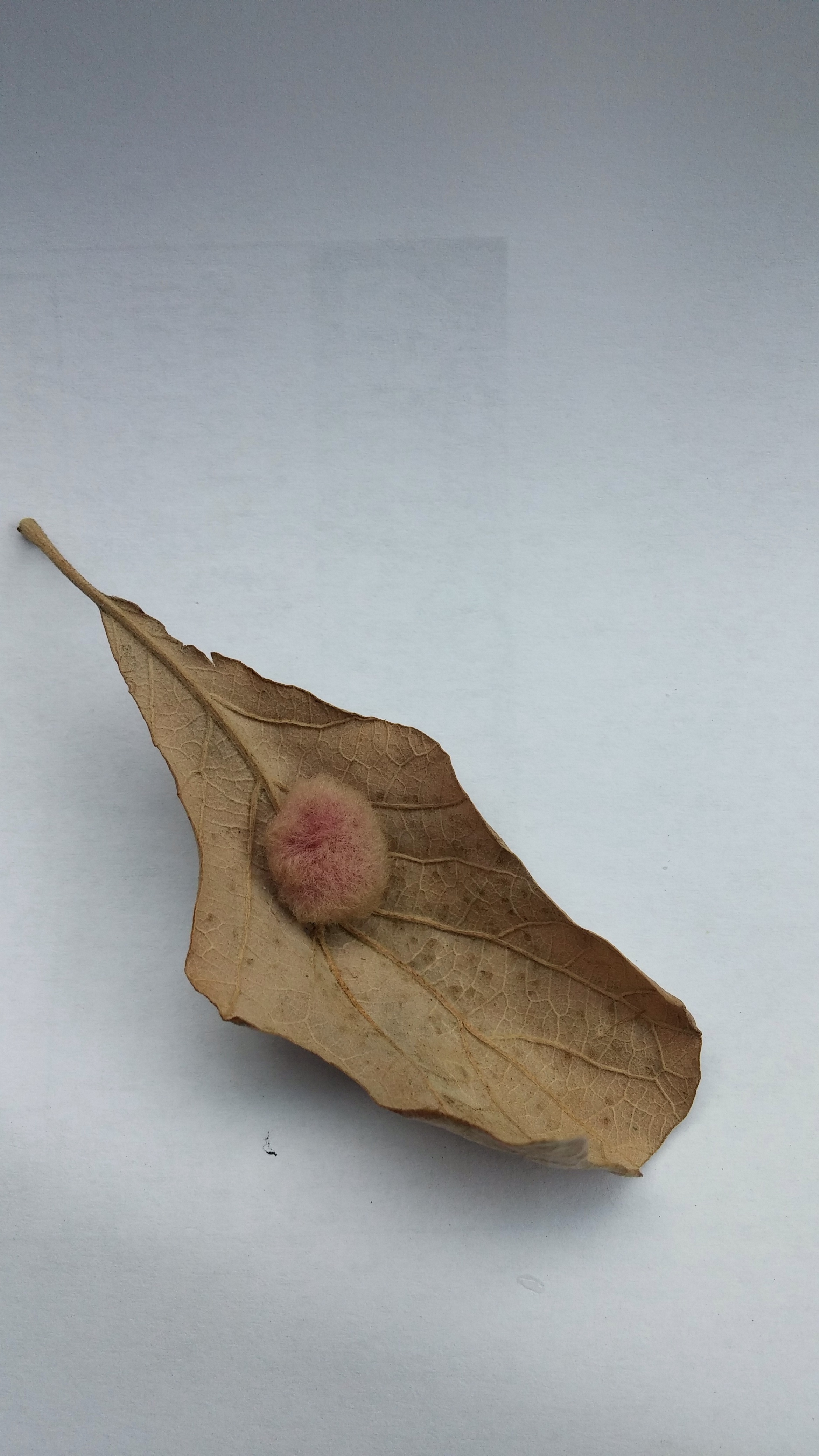 It's a hedgehog gall that shows up on the leaves of white oaks. It's cosmetic, not lethal. Inside the gall, a tiny wasp is developing.