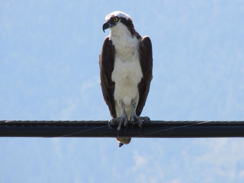 An osprey.