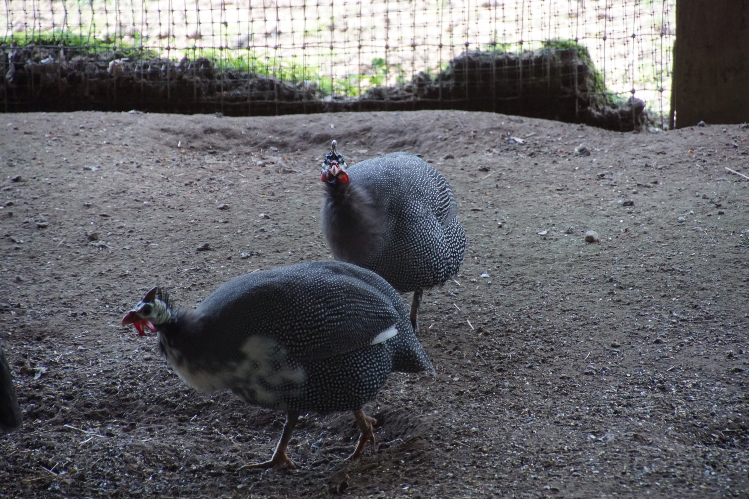 Guinea hens were supposed to eat ticks and scare rats away. We had guinea fowl, ticks and rats.