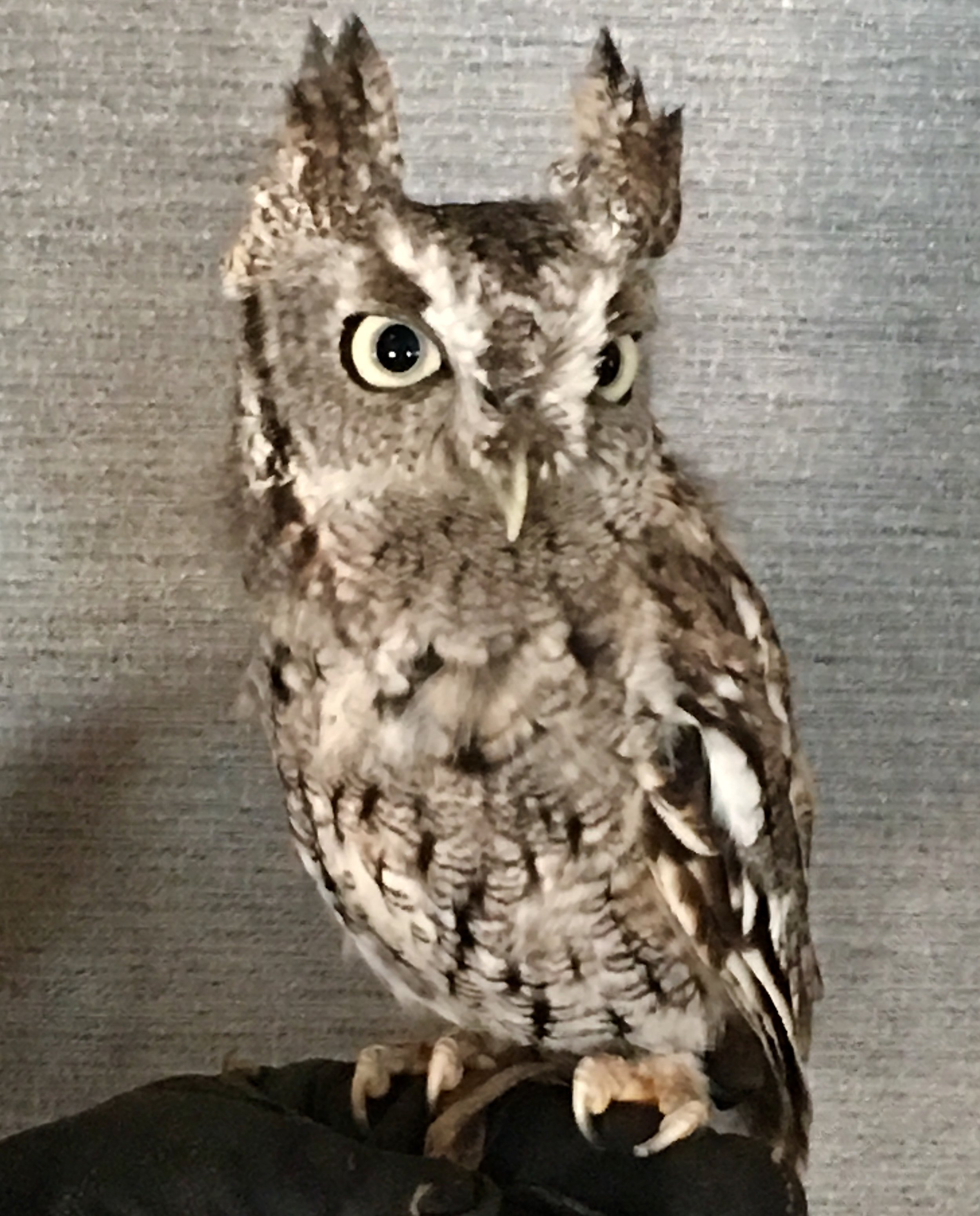 An eastern screech owl not uttering a single scream, squeak