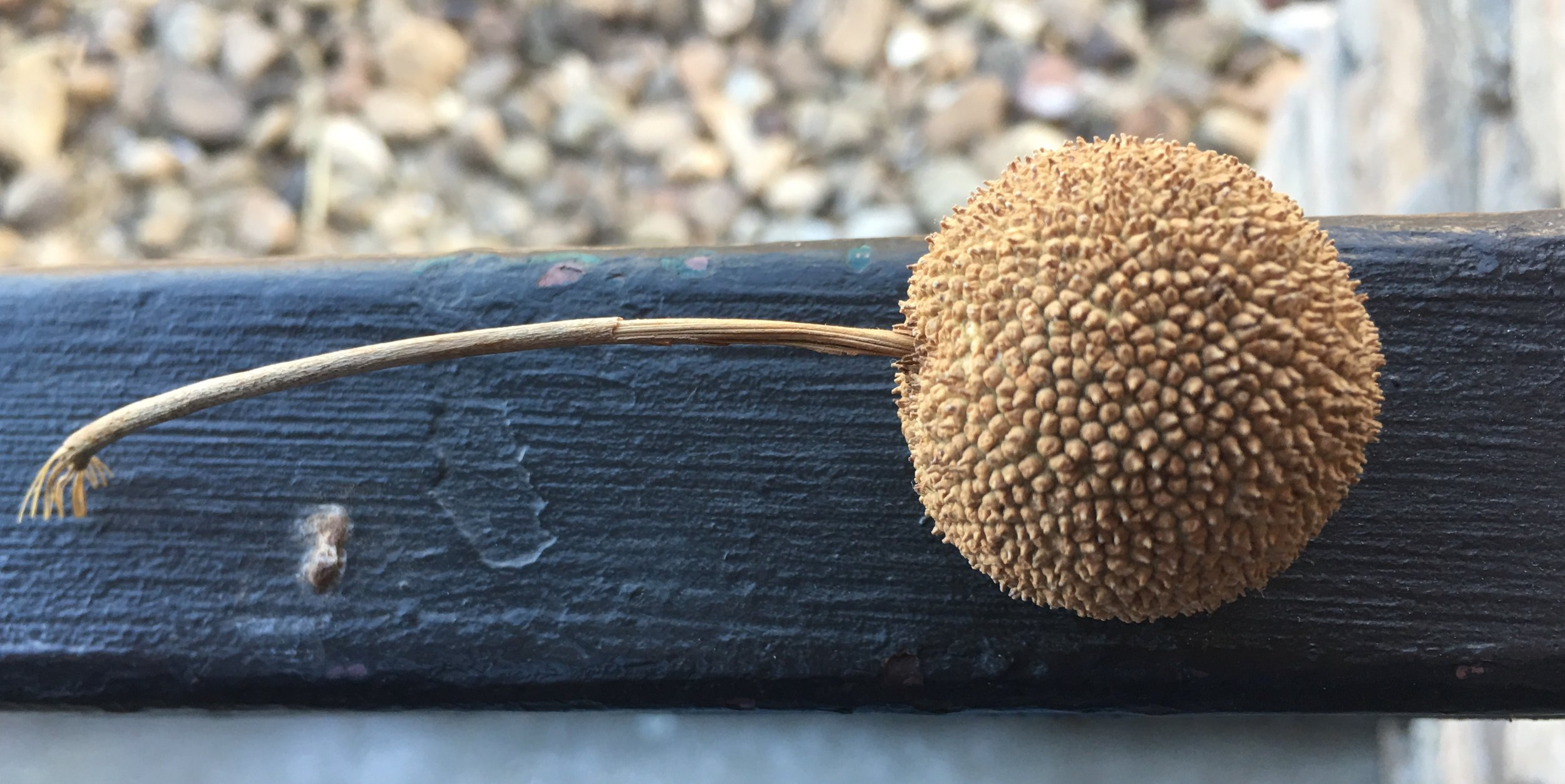 A buttonball from a sycamore tree.