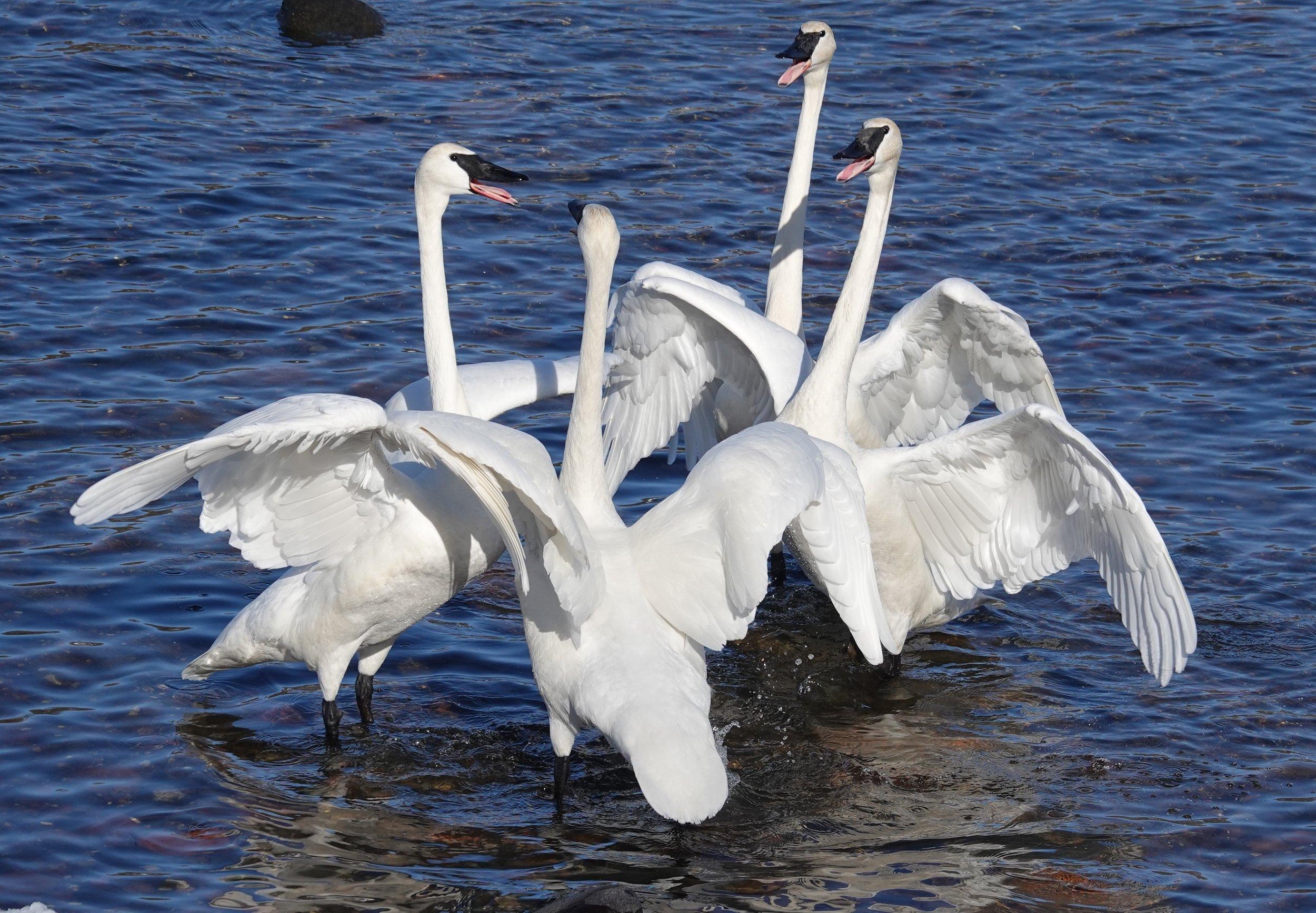Tussling trumpeter swans.