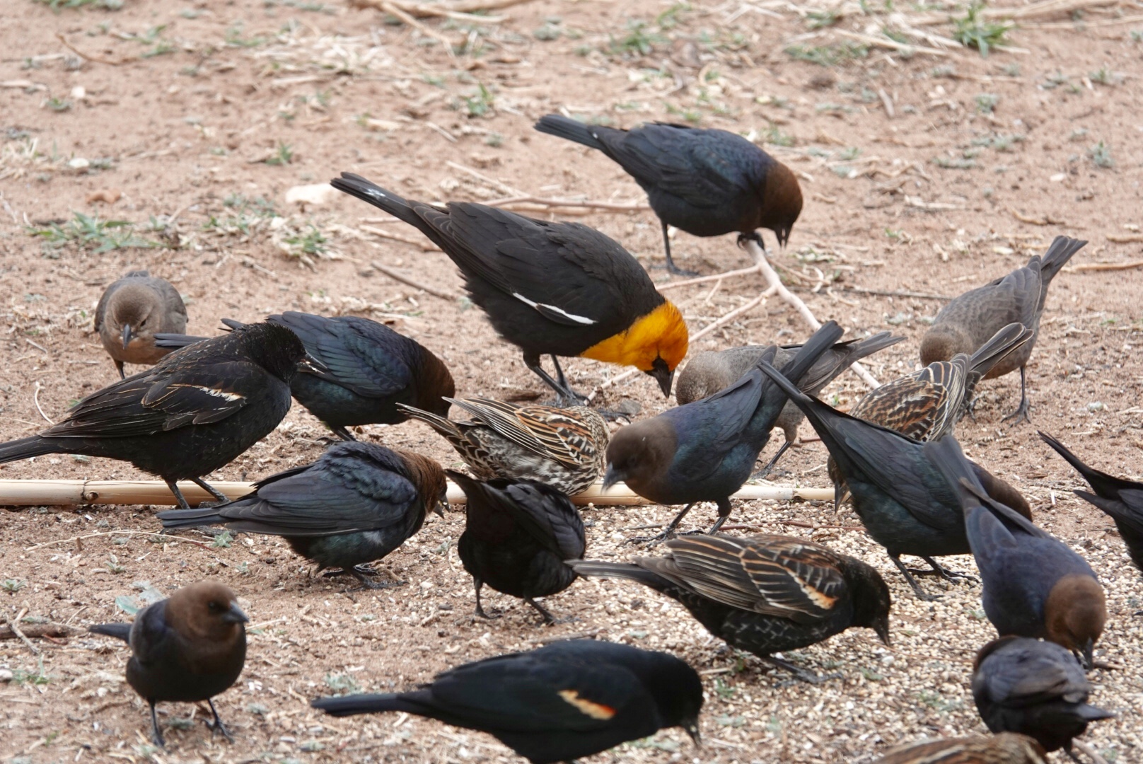 Yellow-headed blackbird, red-winged blackbirds and brown-headed cowbirds.
