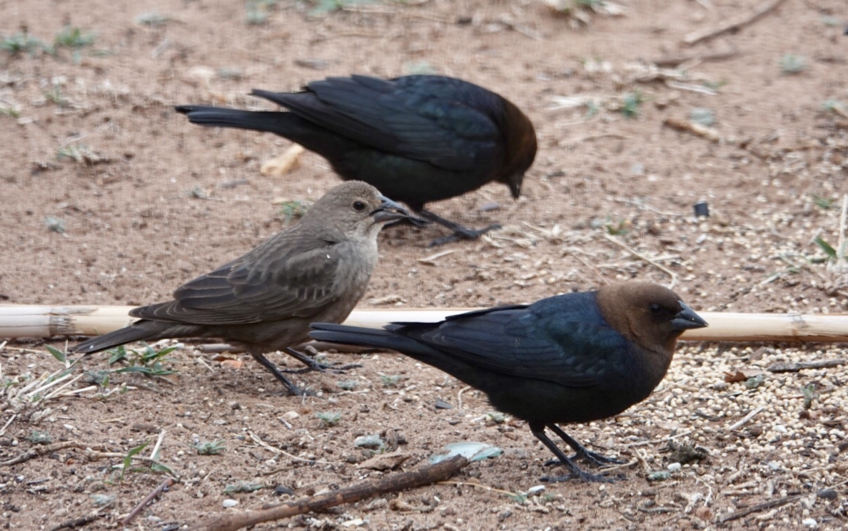 Male and female brown-headed cowbirds.