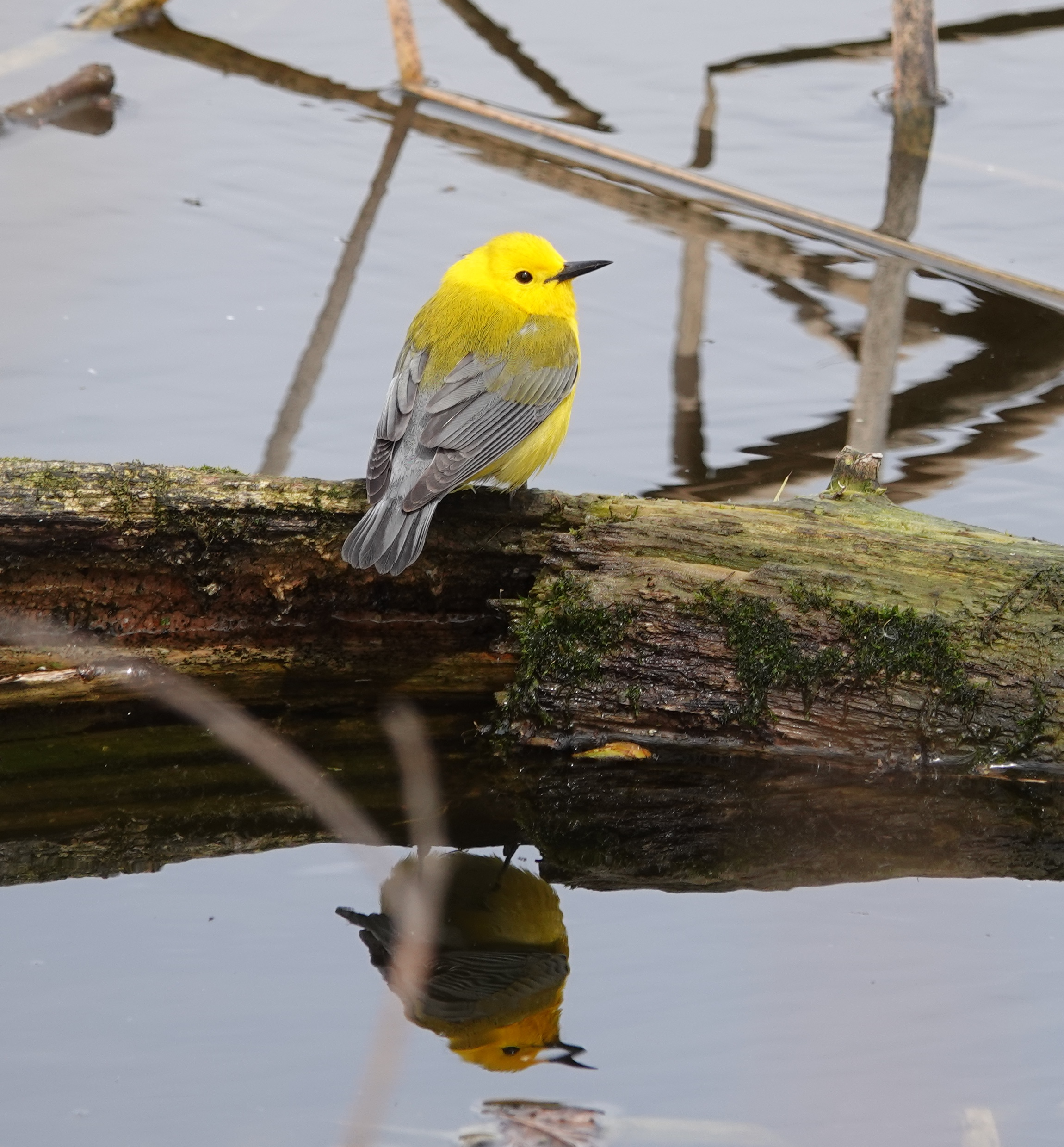 A prothonotary warbler looking all prothonotary.
