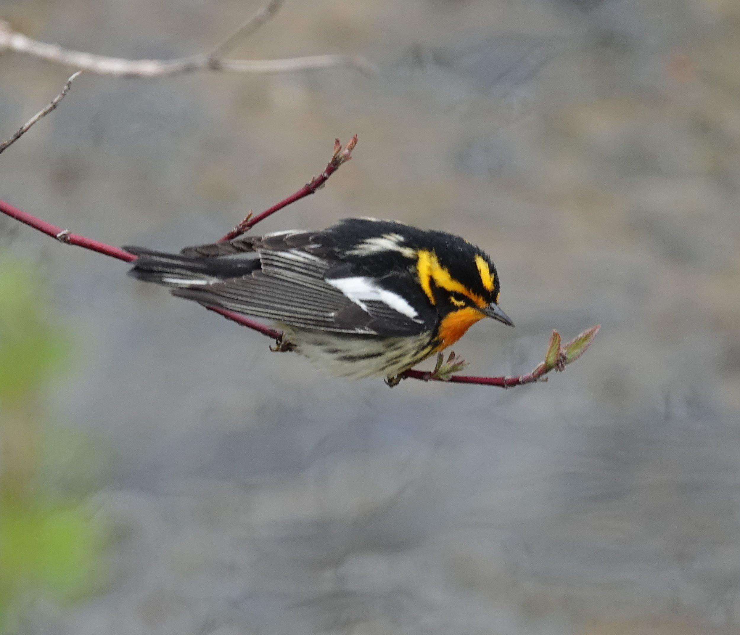 The Blackburnian warbler was named after the botanist Anna Blackburne.  The baseball team could have been named the Baltimore Blackburnians.