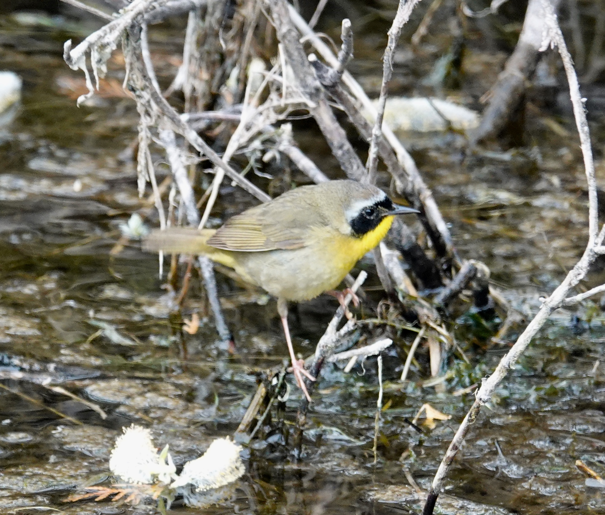 A common yellowthroat wears a mask.