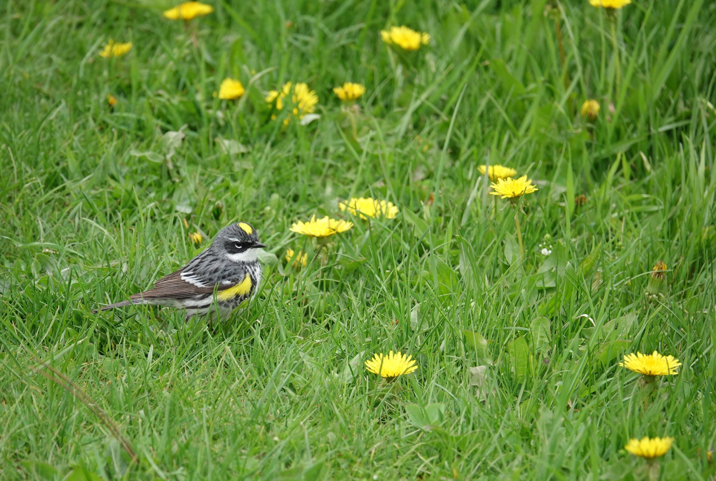 A yellow-rumped warbler looks at home with the dandelions.