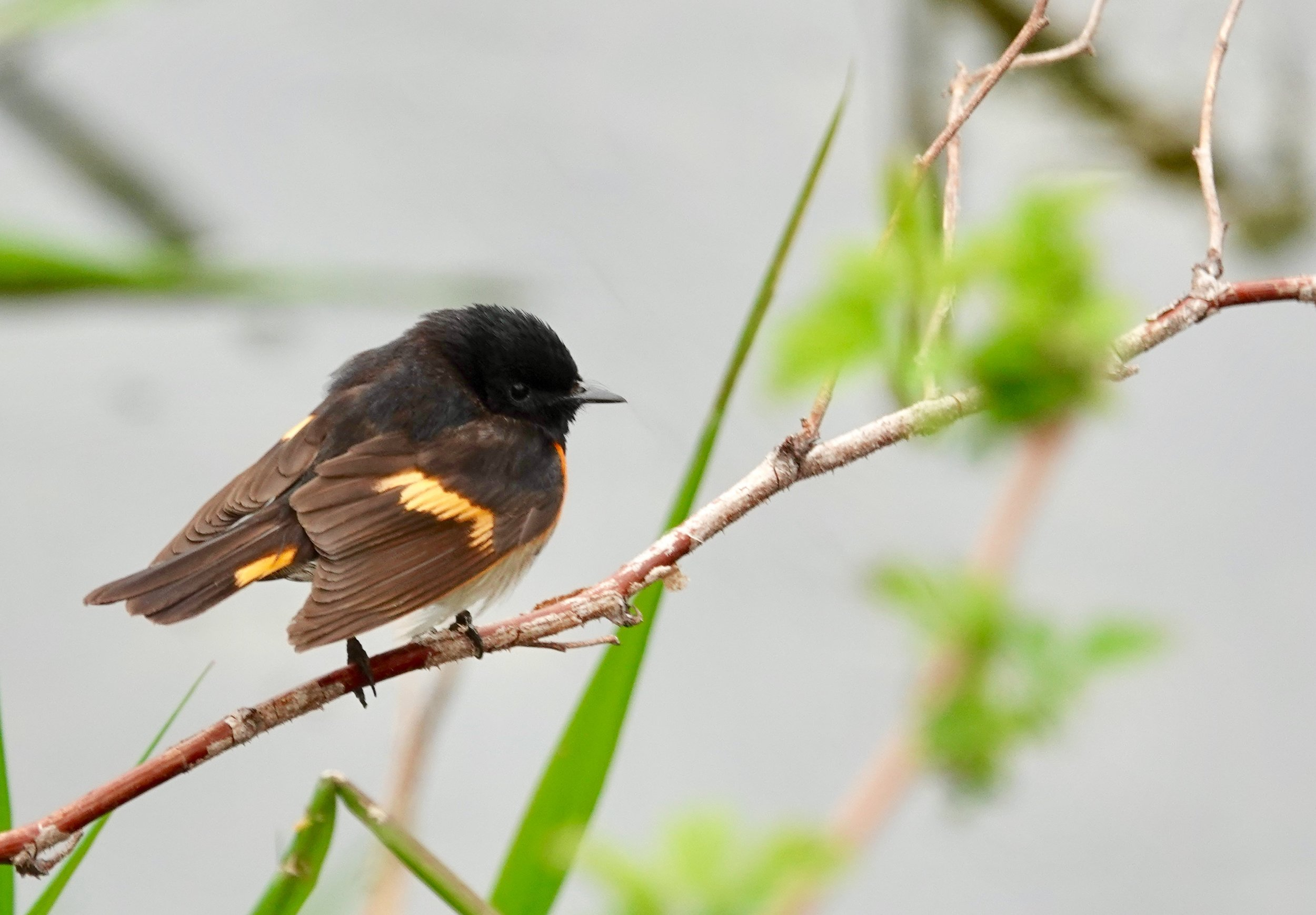 "An American redstart. Start is an old English word for tail. In Latin America, the redstart is called candelita or ""little torch."""