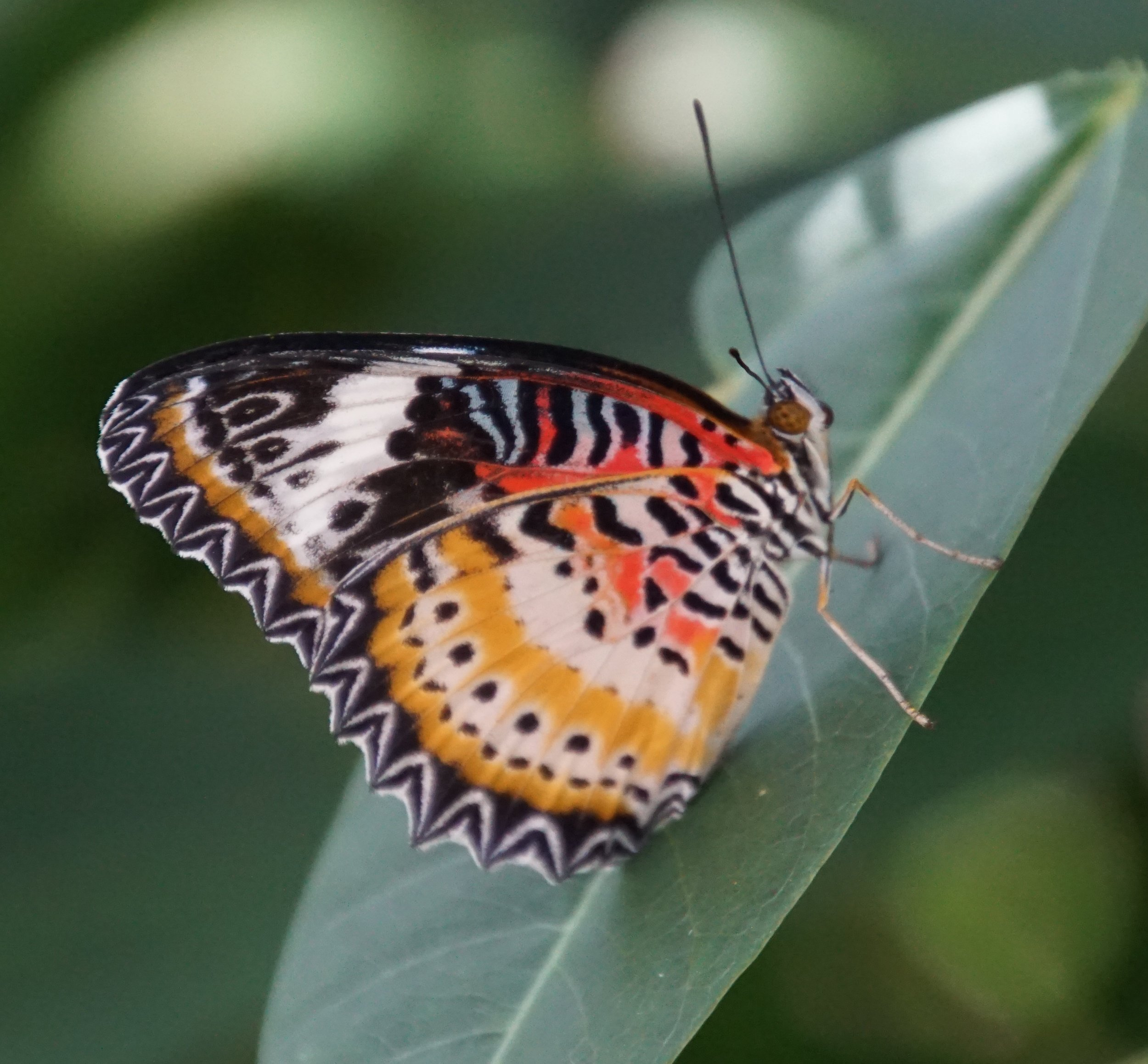 A leopard lacewing that is found in Asia.
