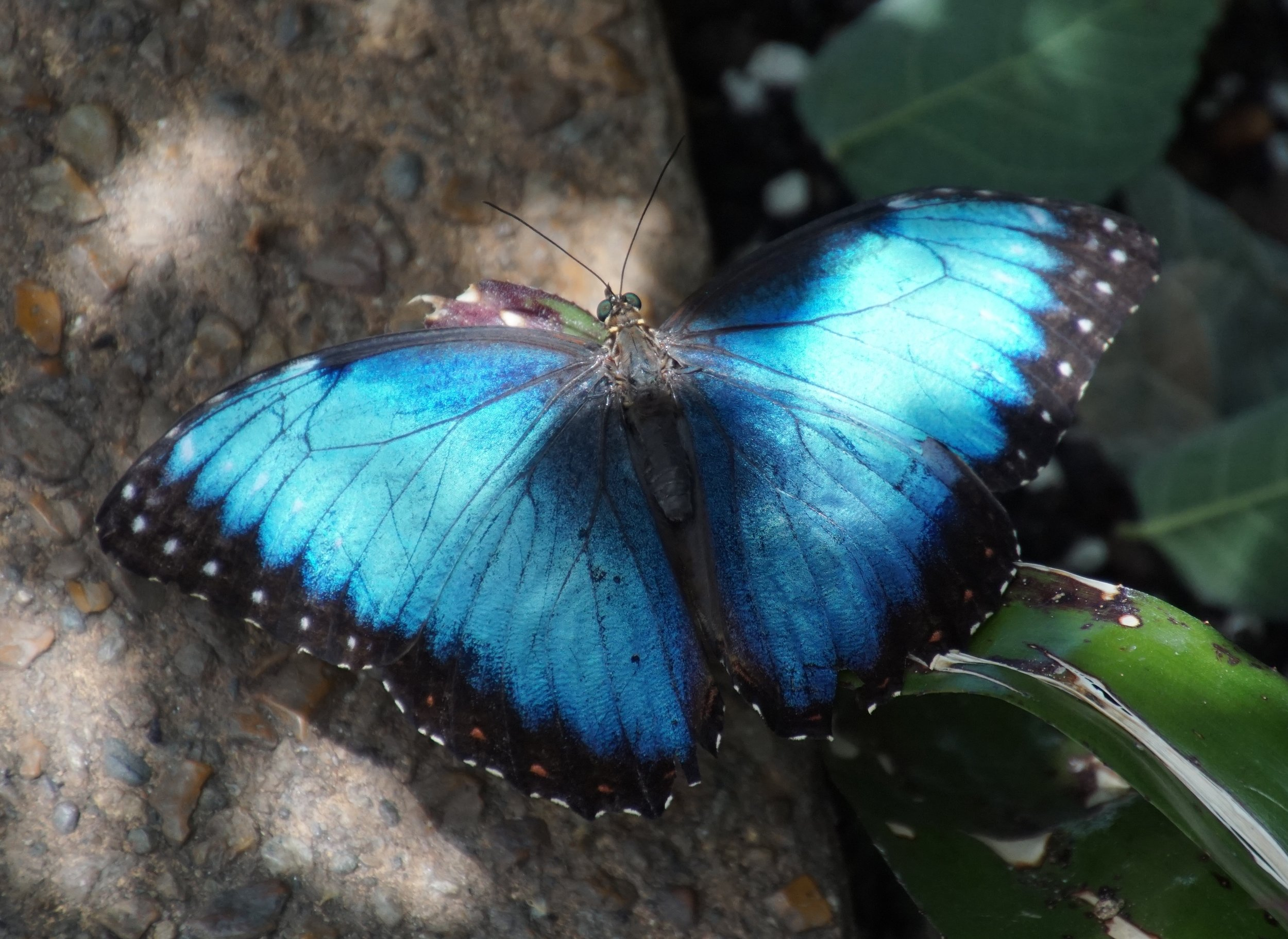 I recall with great joy seeing blue morpho butterflies in the dappled sun of Costa Rica. Morpho refers to Morpheus the god of dreams in Greek mythology.