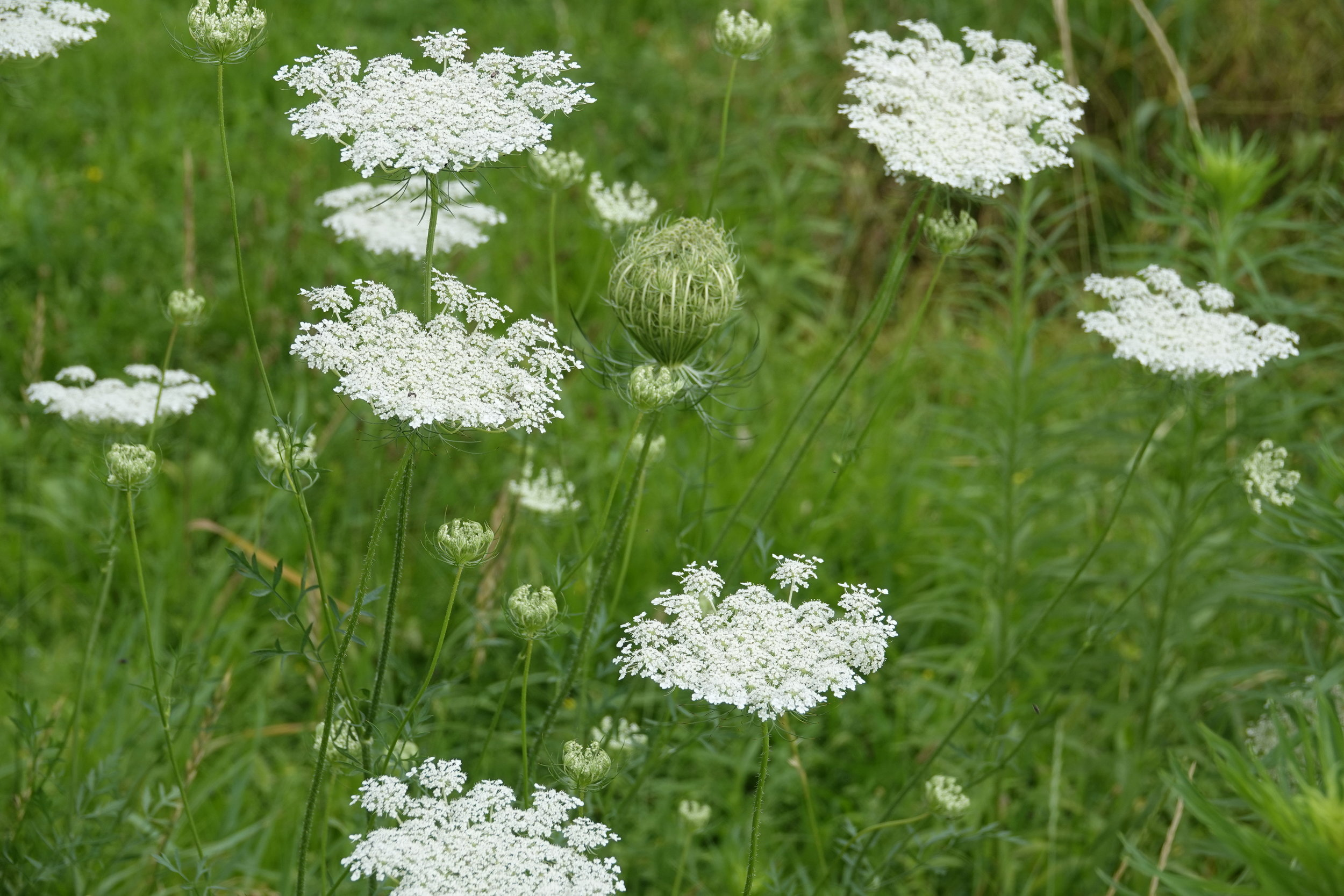 """Queen Anne's Lace. A biennial that I called """"bird's nest"""" annually when I was a lad."""
