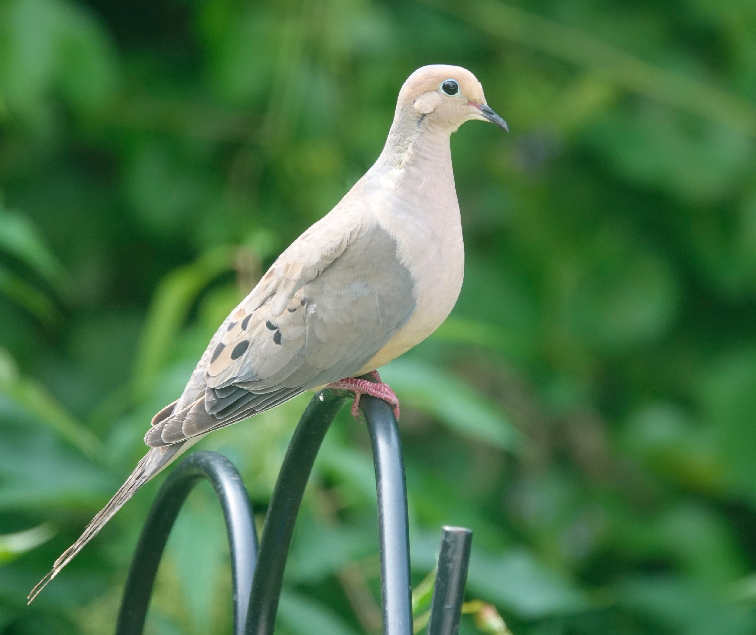 John James Audubon called it the Carolina pigeon or turtle dove. We call it the mourning dove. It's Wisconsin's official state symbol of peace.