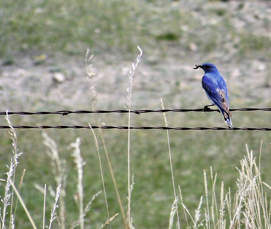 A mountain bluebird I encountered in Montana.
