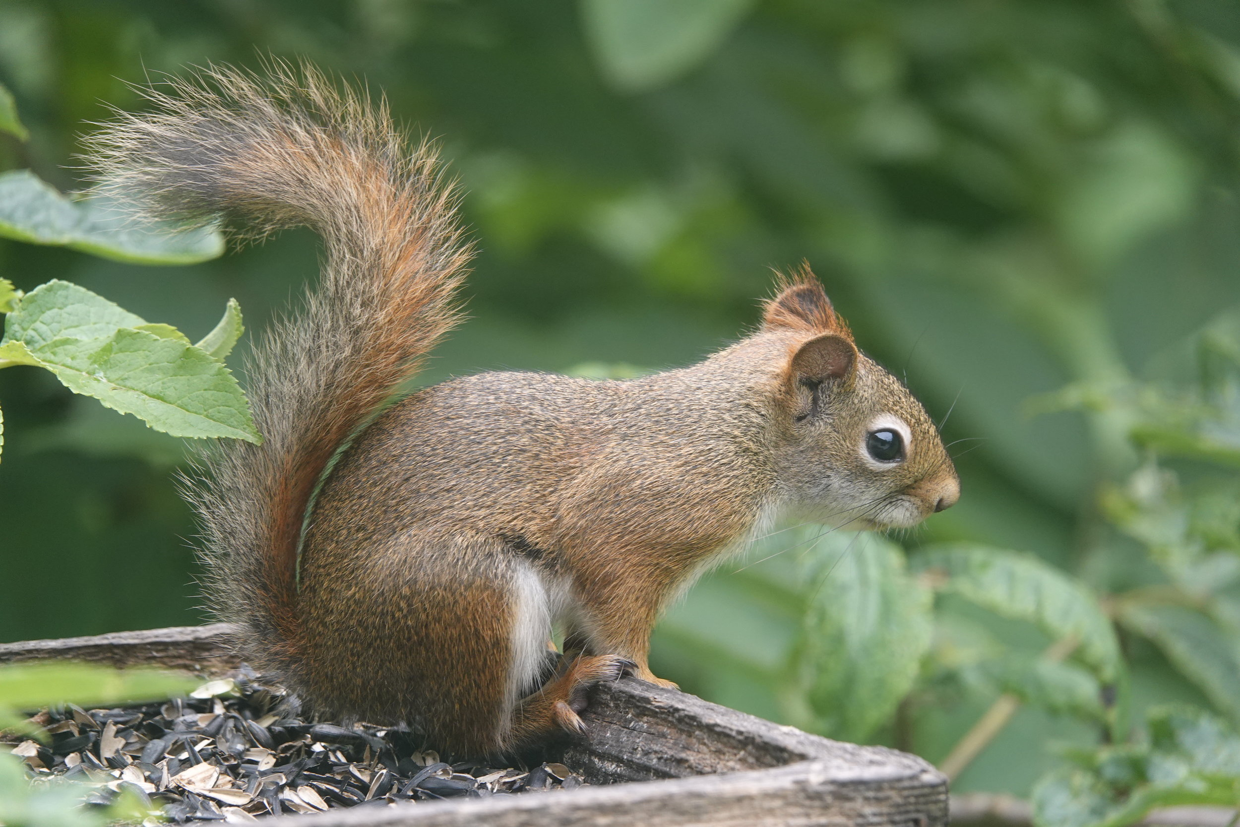 Some people claim that Cinderella's slippers were made of red squirrel pelts. That's difficult to prove.