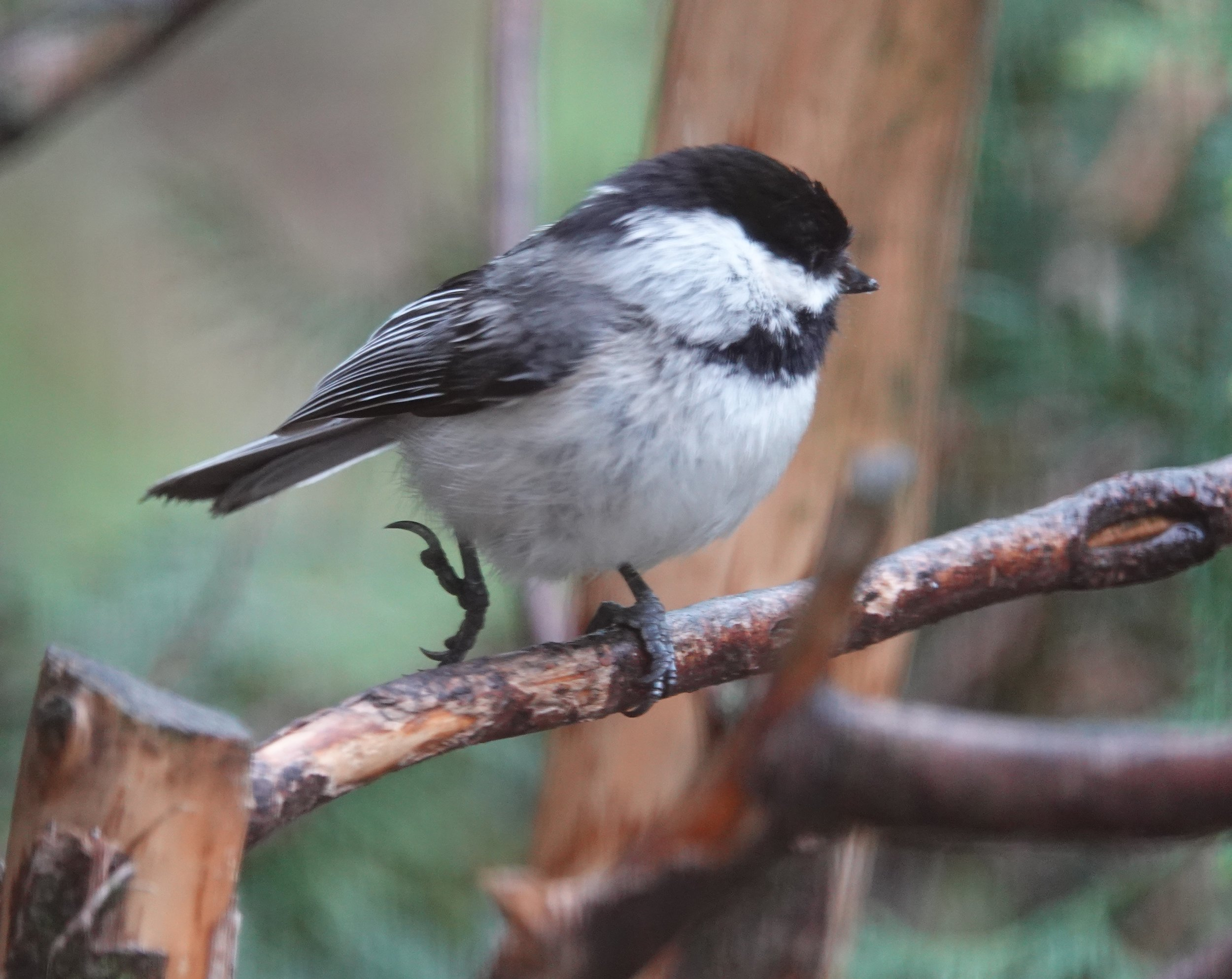 A chickadee kicks up its heels.
