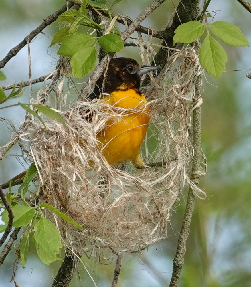 I spent part of a lovely May day watching this Baltimore oriole build a nest. She weaved magic.