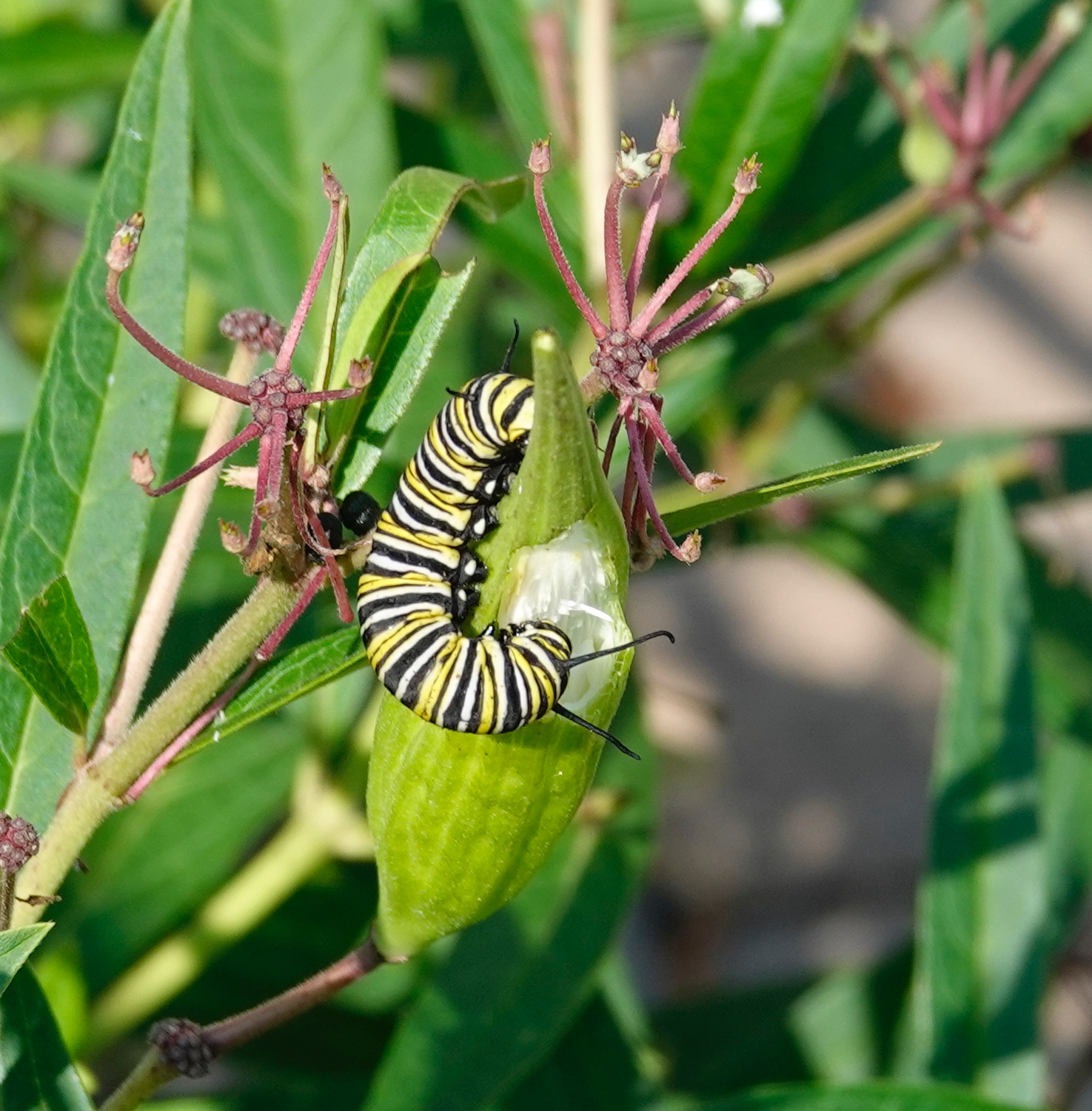 This monarch caterpillar was eating the seed pod of a swamp milkweed.