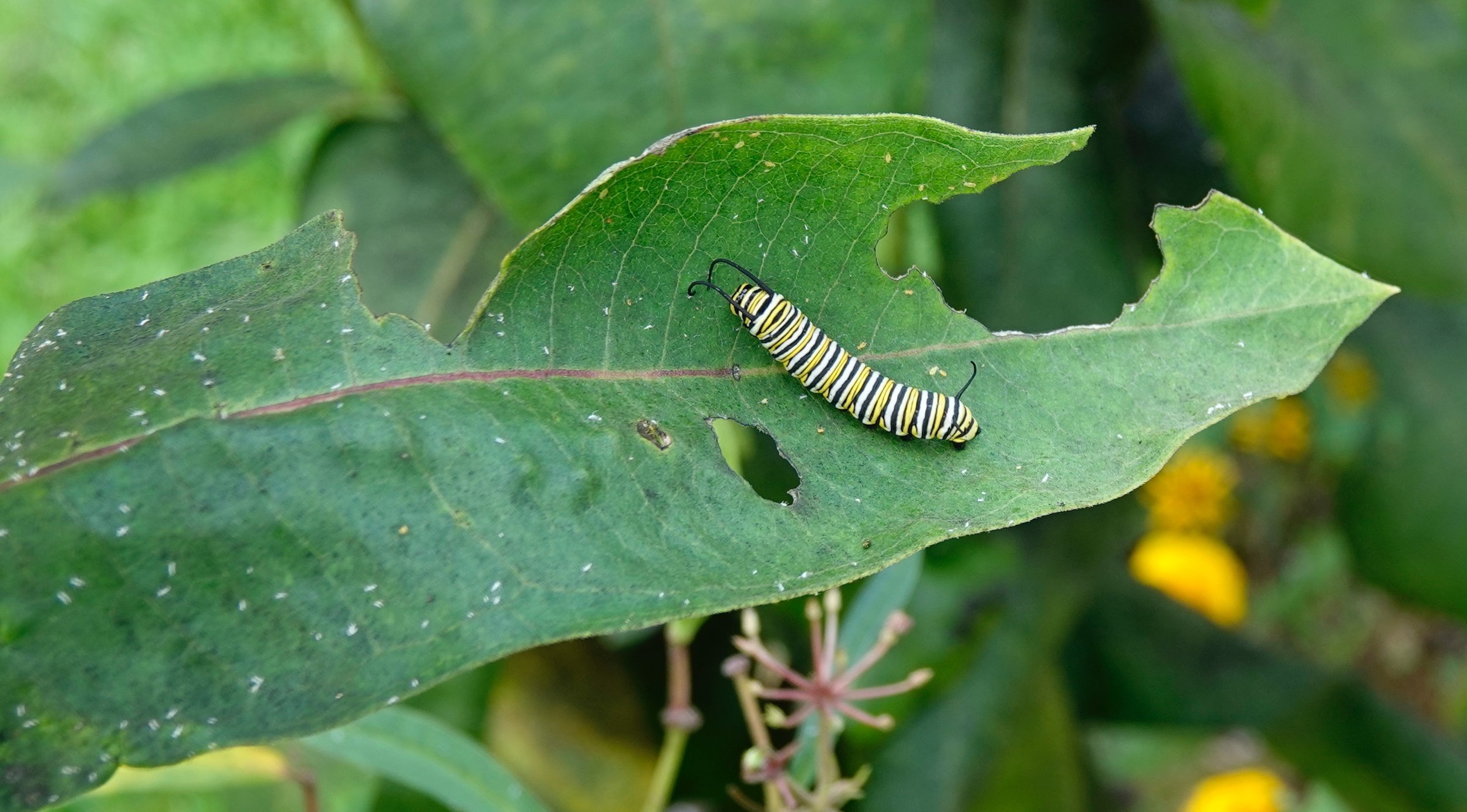 A caterpillar likes a salad.Lots of salads. In just two weeks the caterpillar sheds its skin five times. It outgrows its old skins.