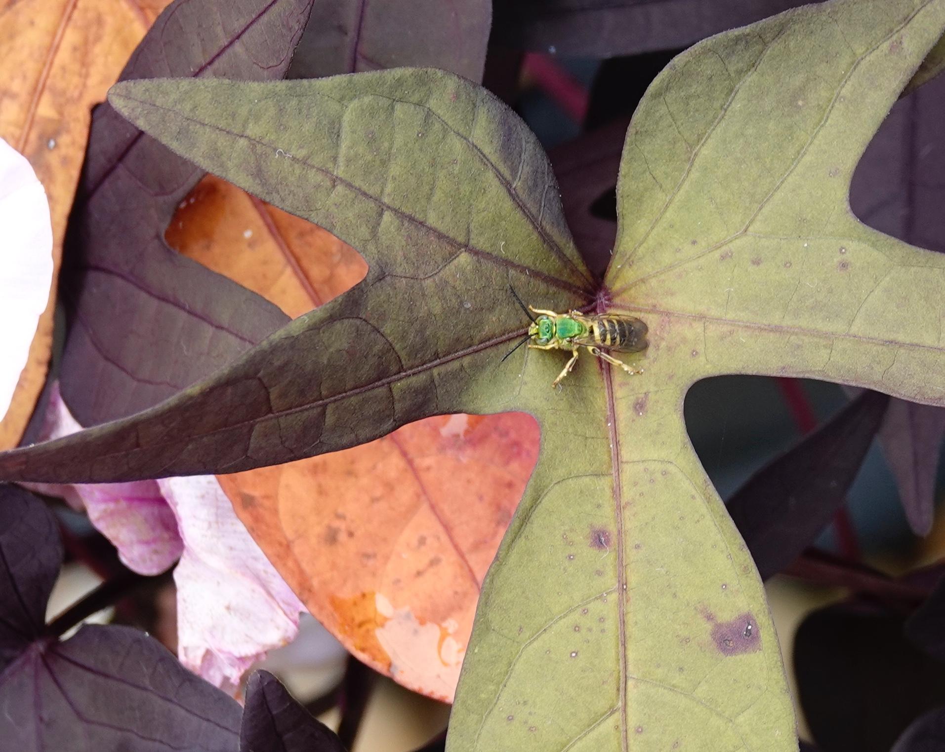 Another tiny, metallic green bee.
