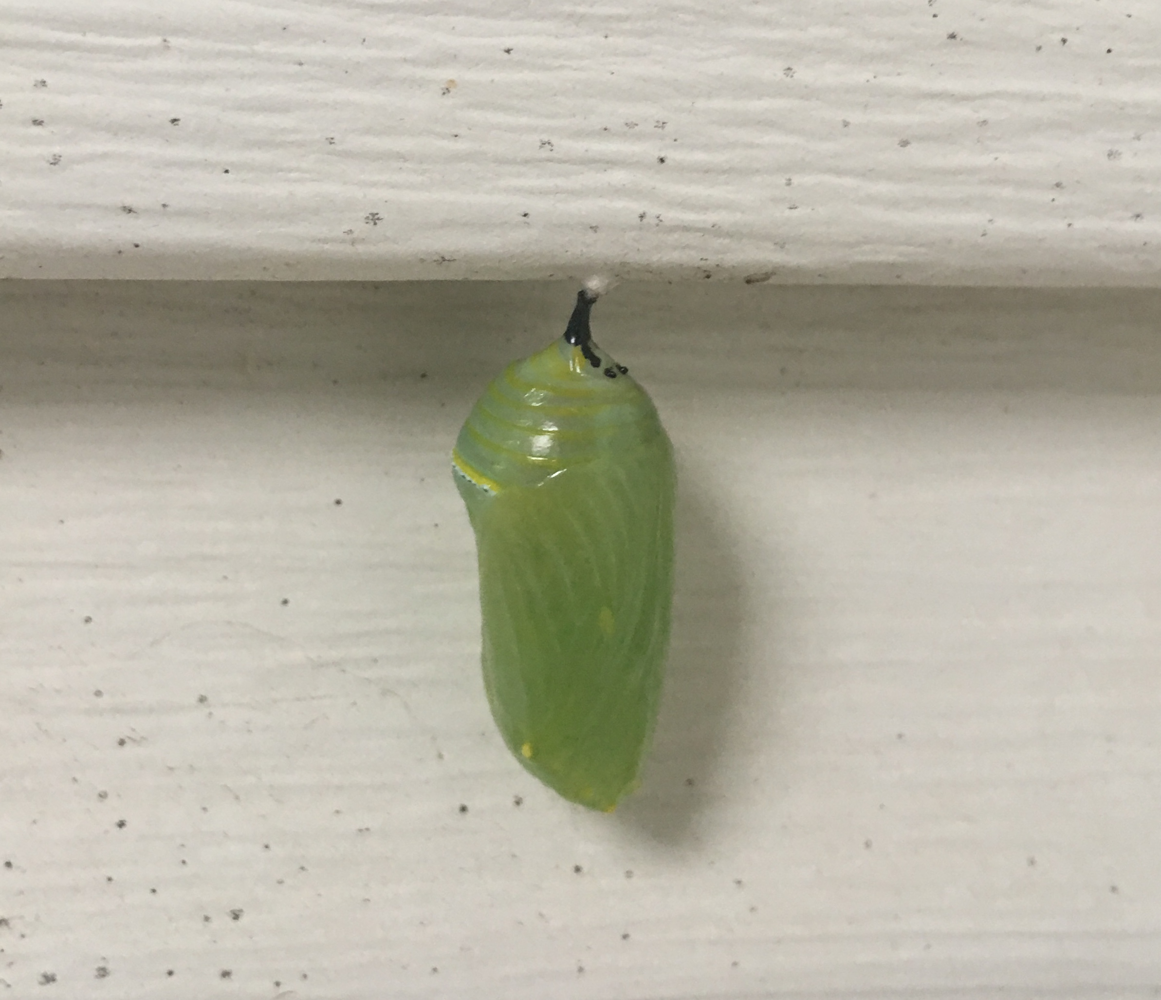 I'm having new siding put on the house — monarch butterfly chrysalises.