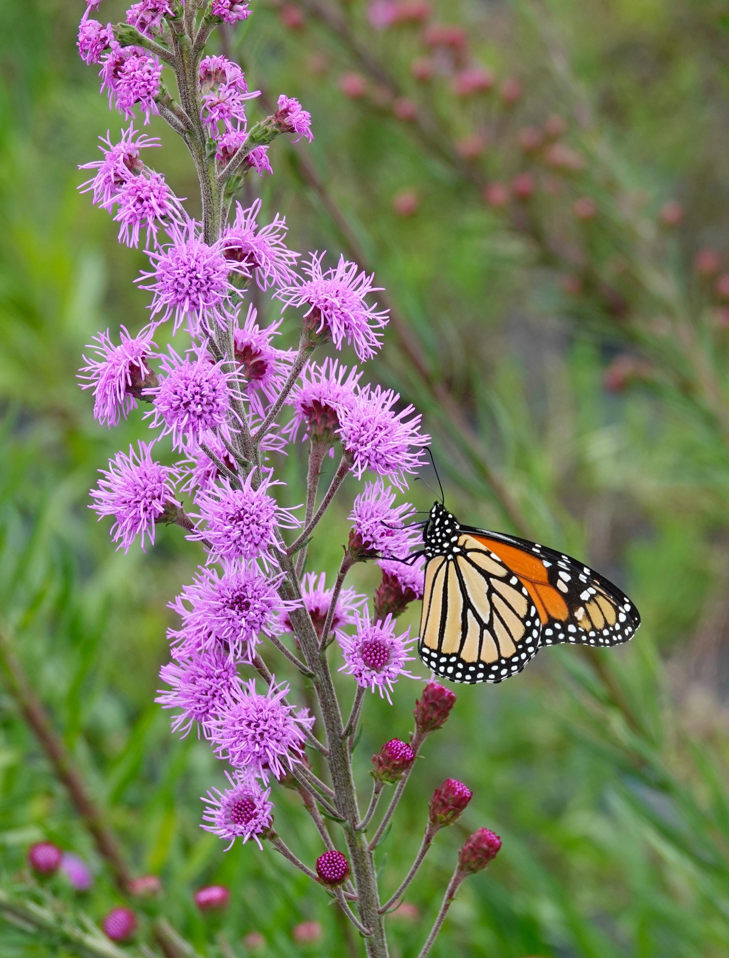 A monarch butterfly on a meadow blazing star.