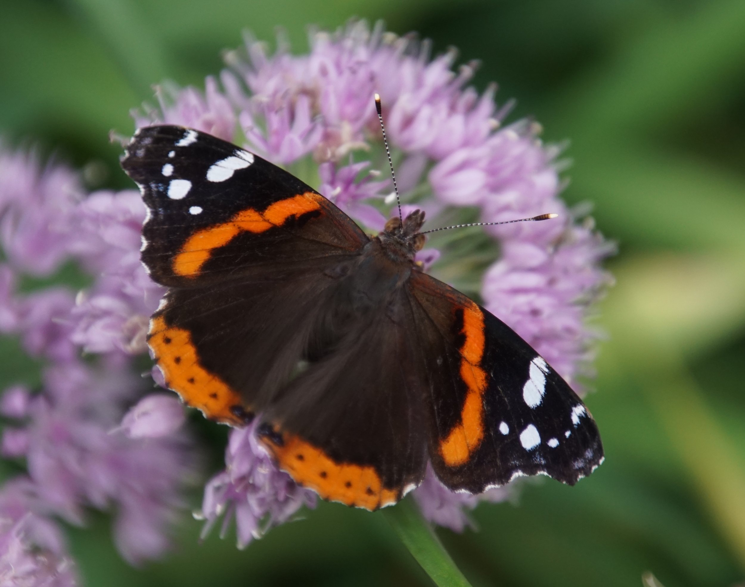 """The name red admiral is a corruption of the """"red admirable"""" moniker given to this butterfly by early naturalists. Perhaps it should have been the """"orange admirable."""""""