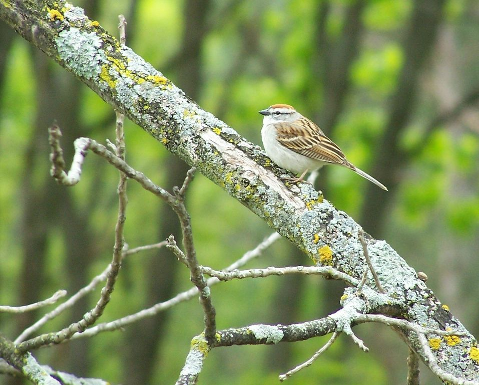 """In my adolescence, which refuses to end, I called the chipping sparrow a """"hair sparrow"""" for its habit of using animal hair in its nest."""