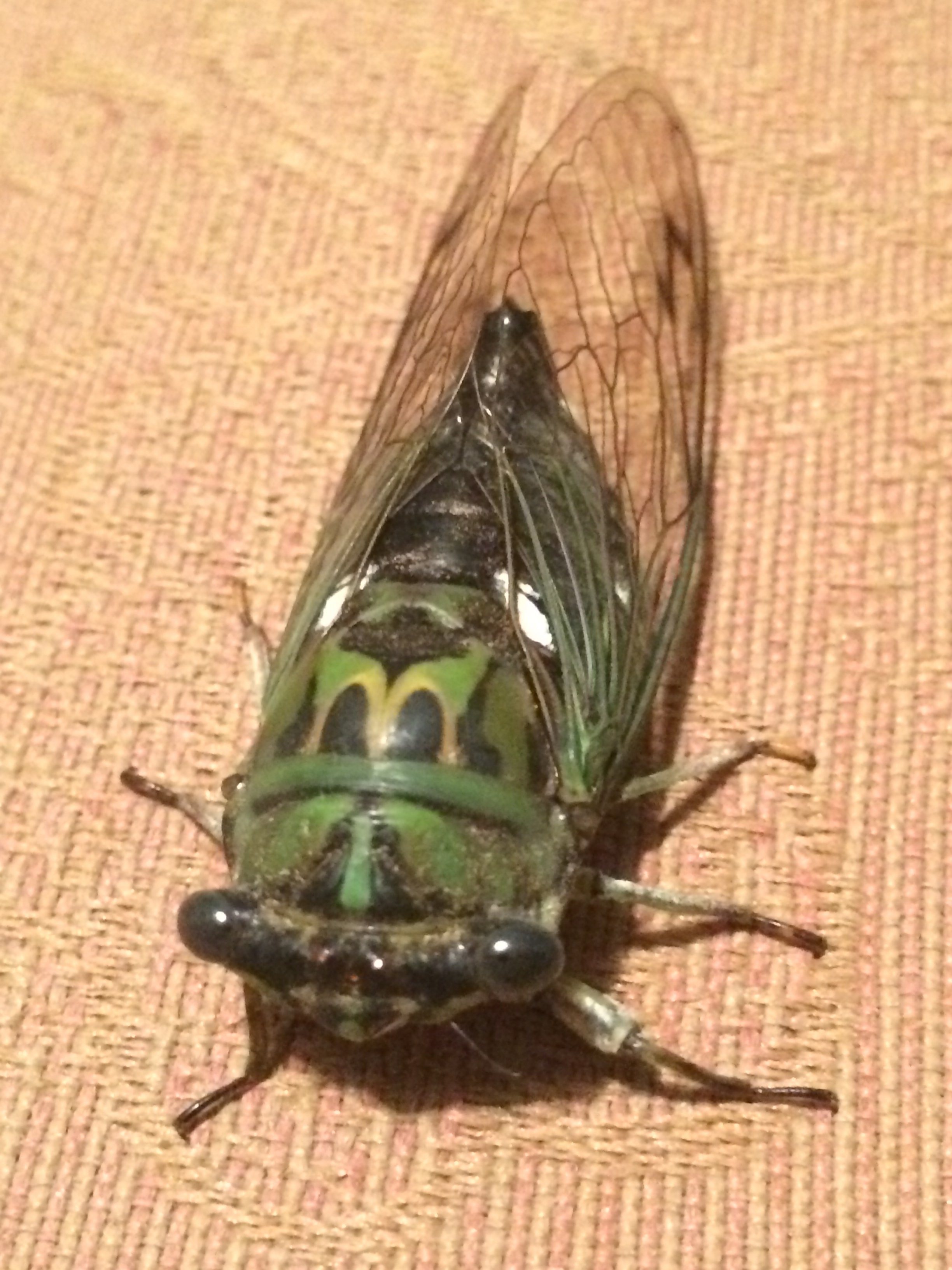 If you've never heard scissors being sharpened by a grinder, they sound like this scissor-grinder cicada.
