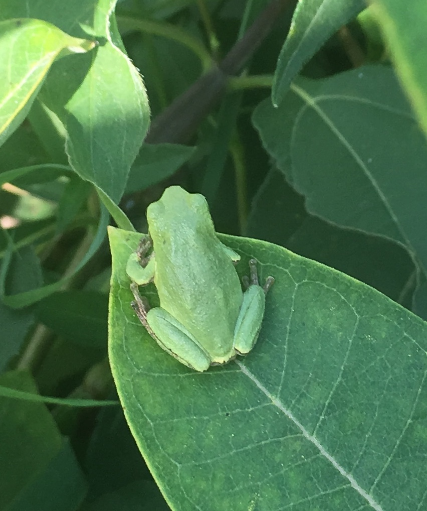 A gray treefrog on a milkweed leaf. Gray treefrogs vary in color depending on the temperature, humidity or color of their habitat.