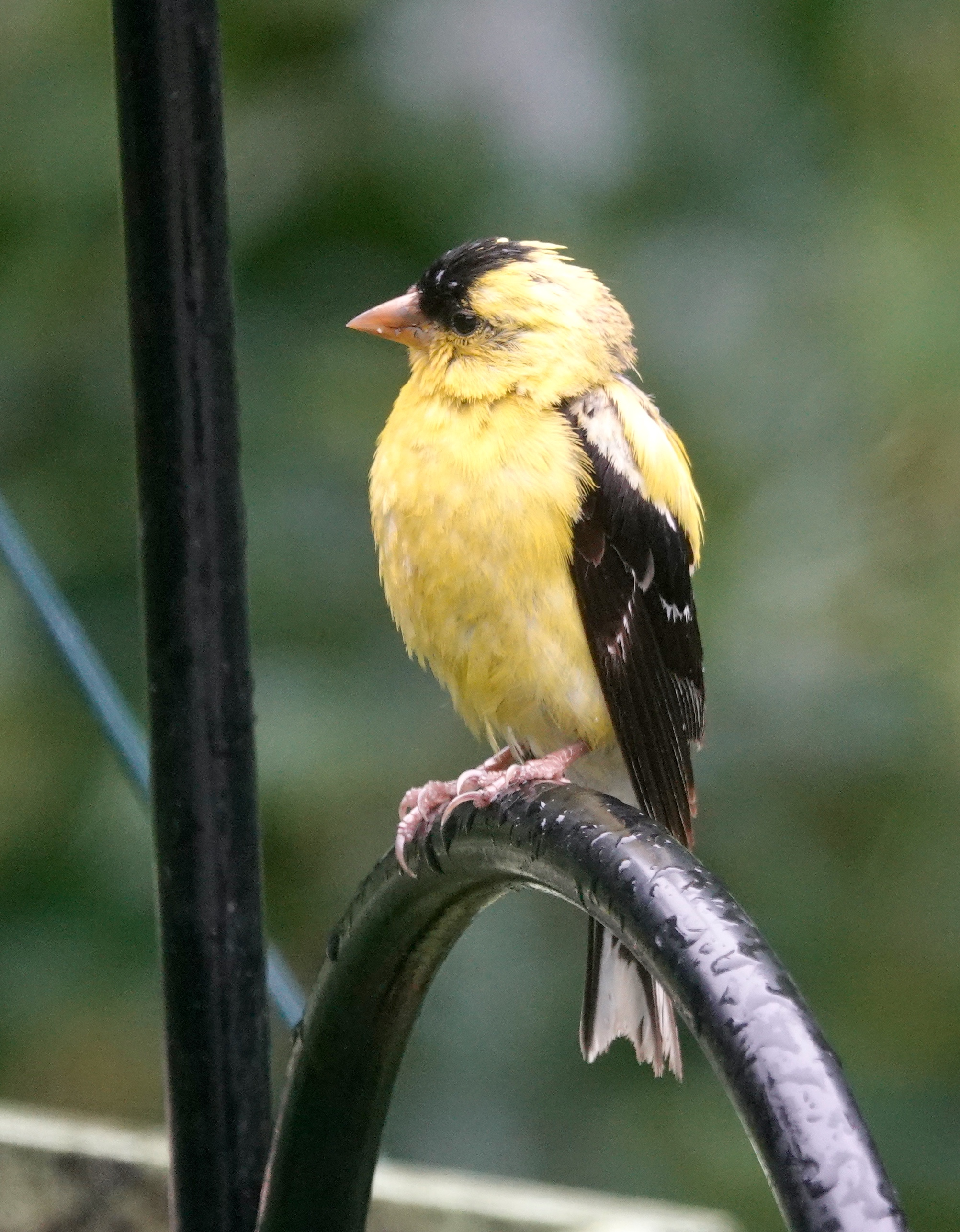 A goldfinch that had forgotten his umbrella. His cheery chattering brightens even the cloudiest of days.